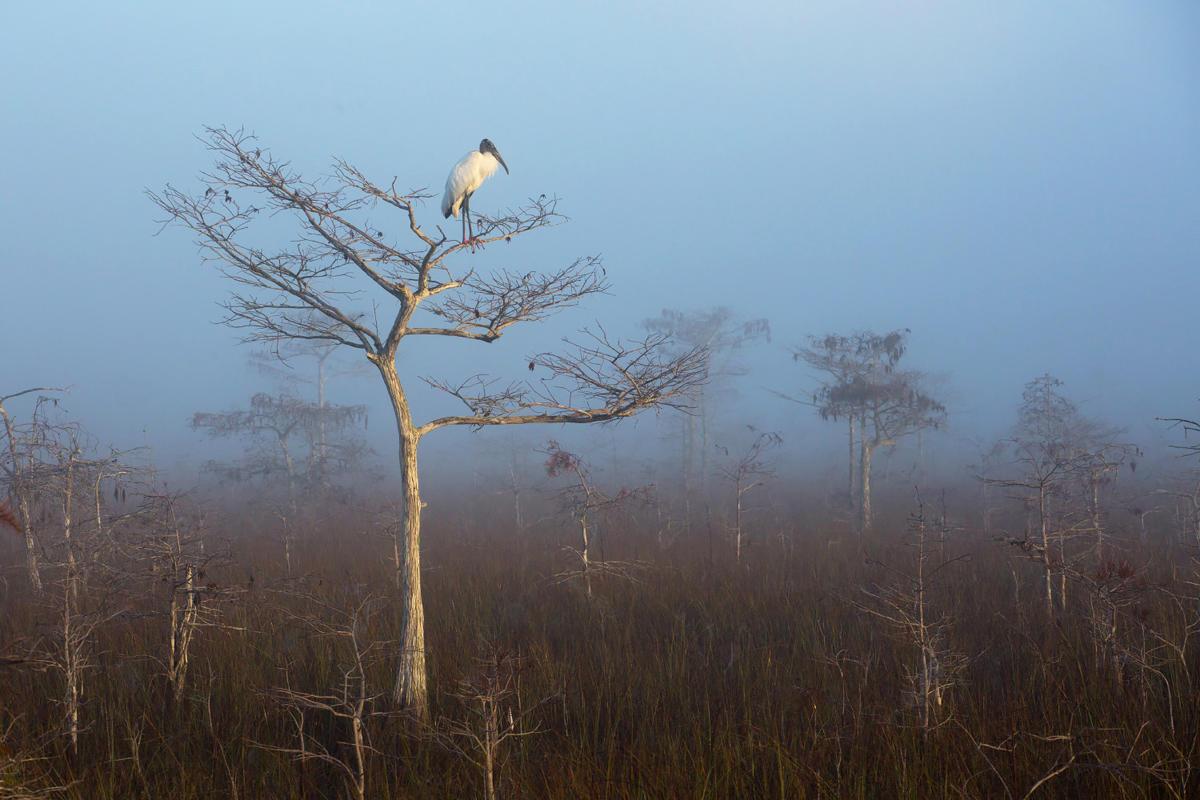 Wood Stork/Professional Category. Judd Patterson/Audubon Photography Awards