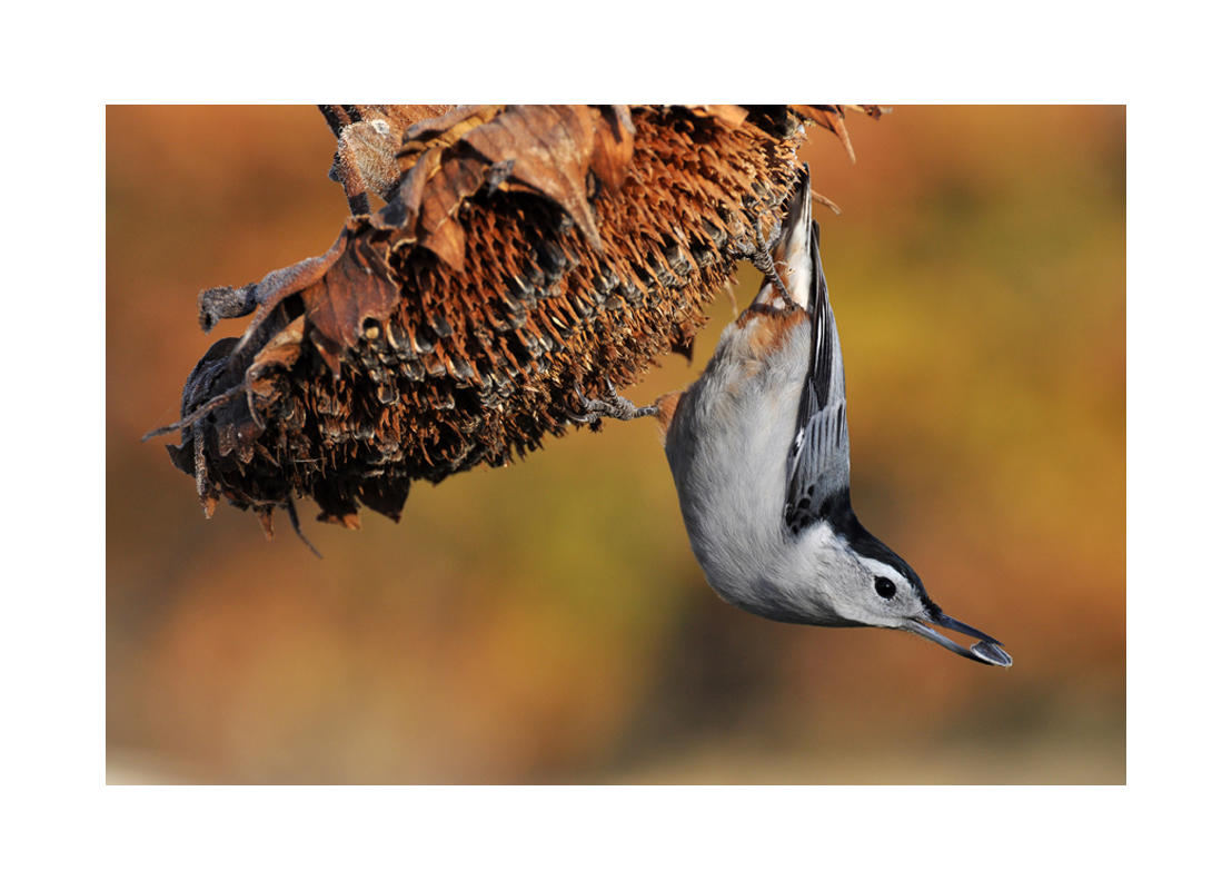 White-breasted Nuthatch/Amateur Category. Kenneth Heiar/Audubon Photography Awards