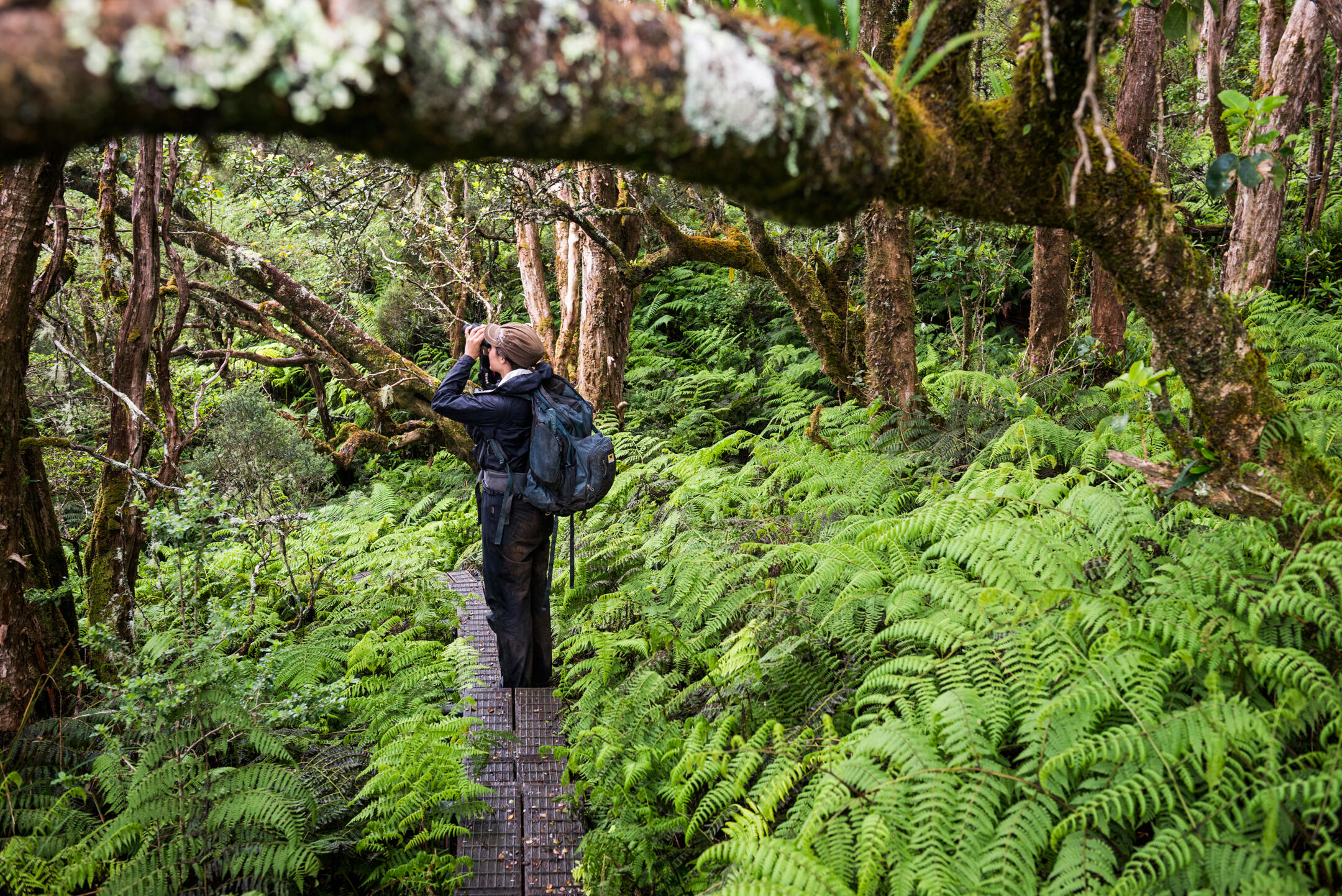 Laura Berthold hikes through Waikamoi Preserve, Parrotbill habitat. The sanctuary's 5,230 acres harbor more than three dozen rare plant species, as well as the endangered Hoary bat and about a dozen native bird species, most of them in decline. Ken Etzel