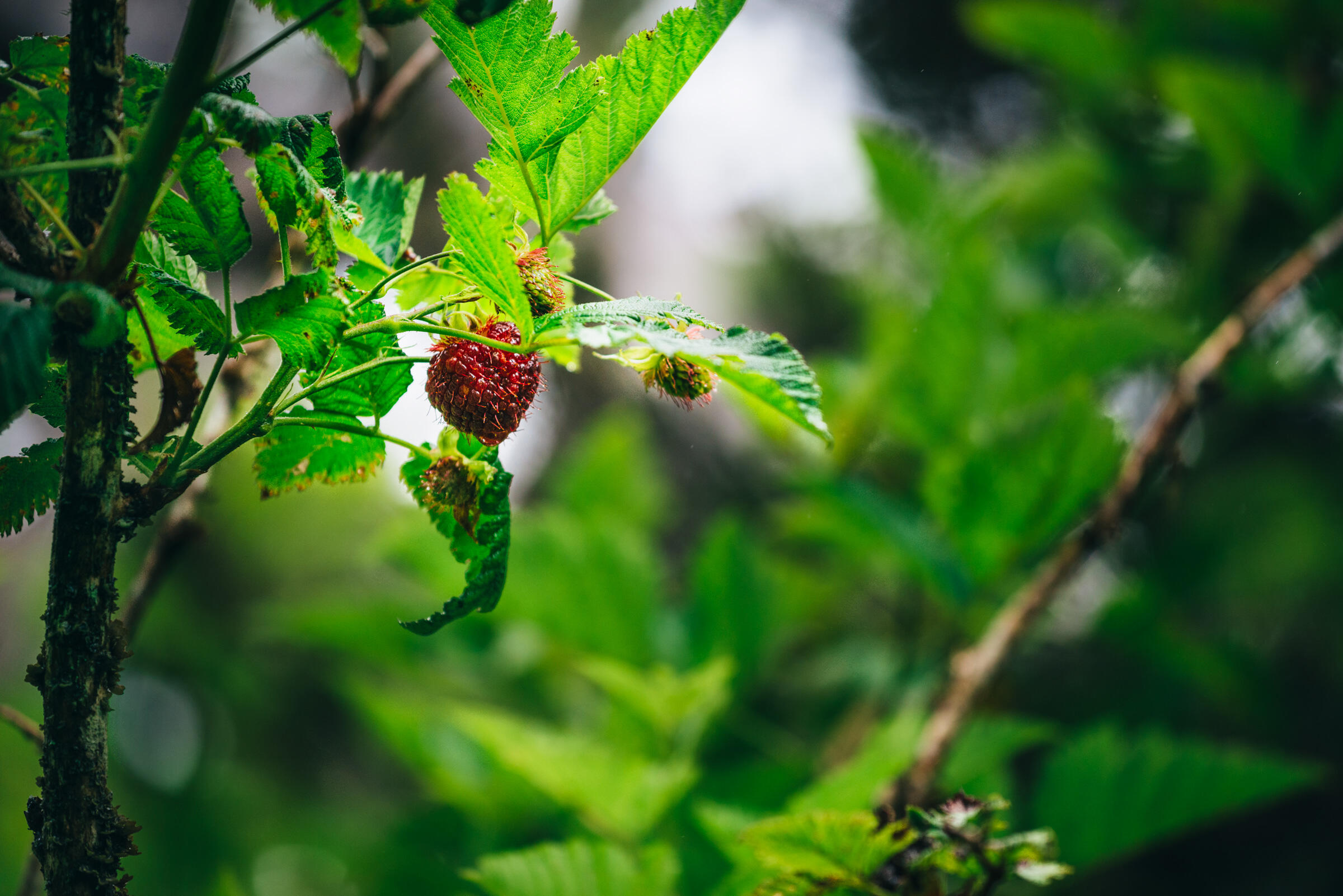 A native Hawaiian raspberry plant. Ken Etzel