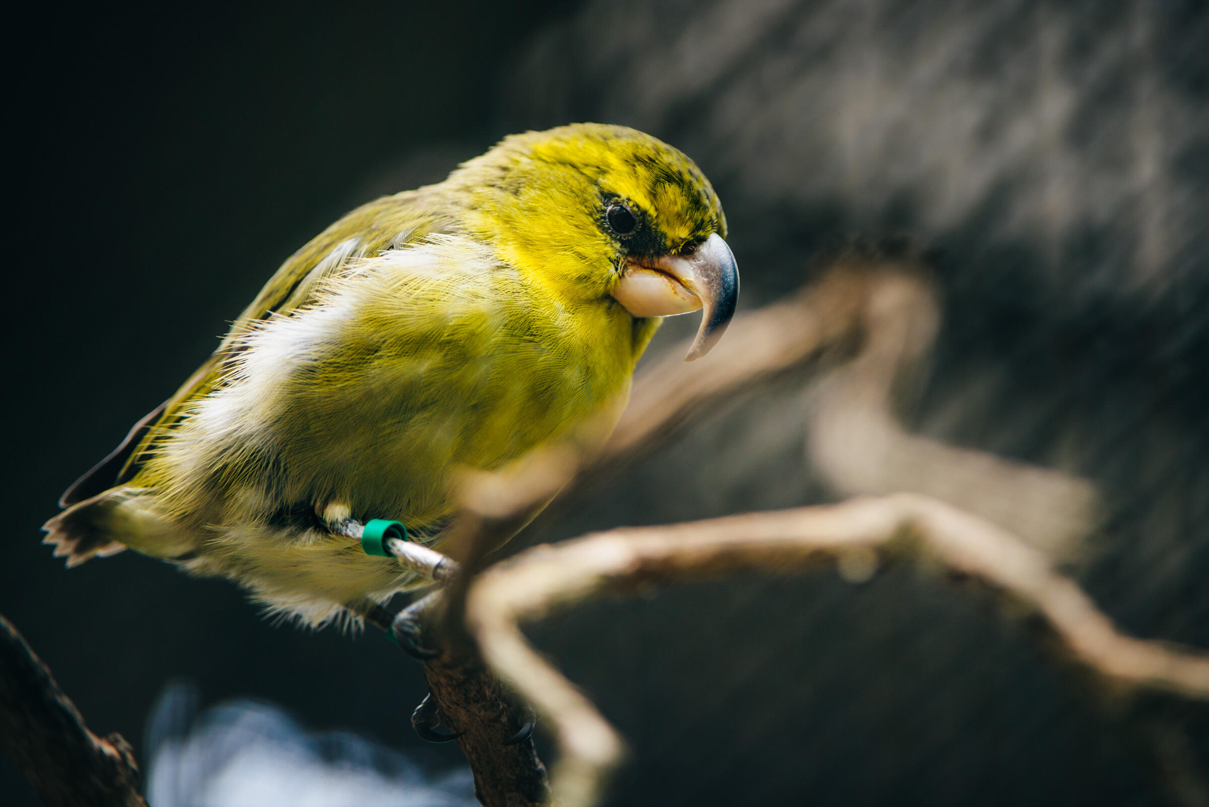 A captive Maui Parrotbill (or Kiwikiu) at the Maui Bird Conservation Center. The plan is to introduce hatchlings from the center to the new habitat, where they'll join wild birds. Ken Etzel