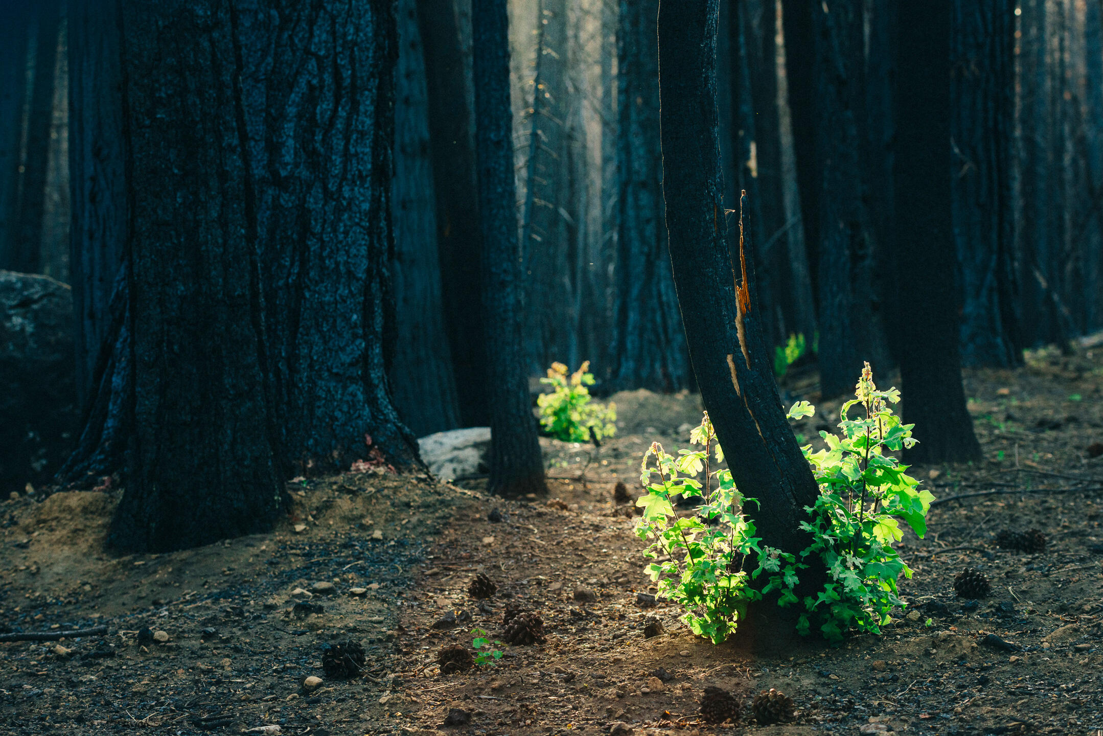 Just one year after the blaze known as the Rim fire, a California black oak is quick to regenerate. Ken Etzel