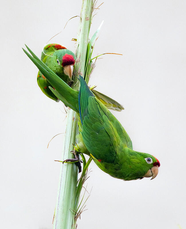 Crimson-fronted Parakeet/Amateur Category. Kevin Malo/Audubon Photography Awards