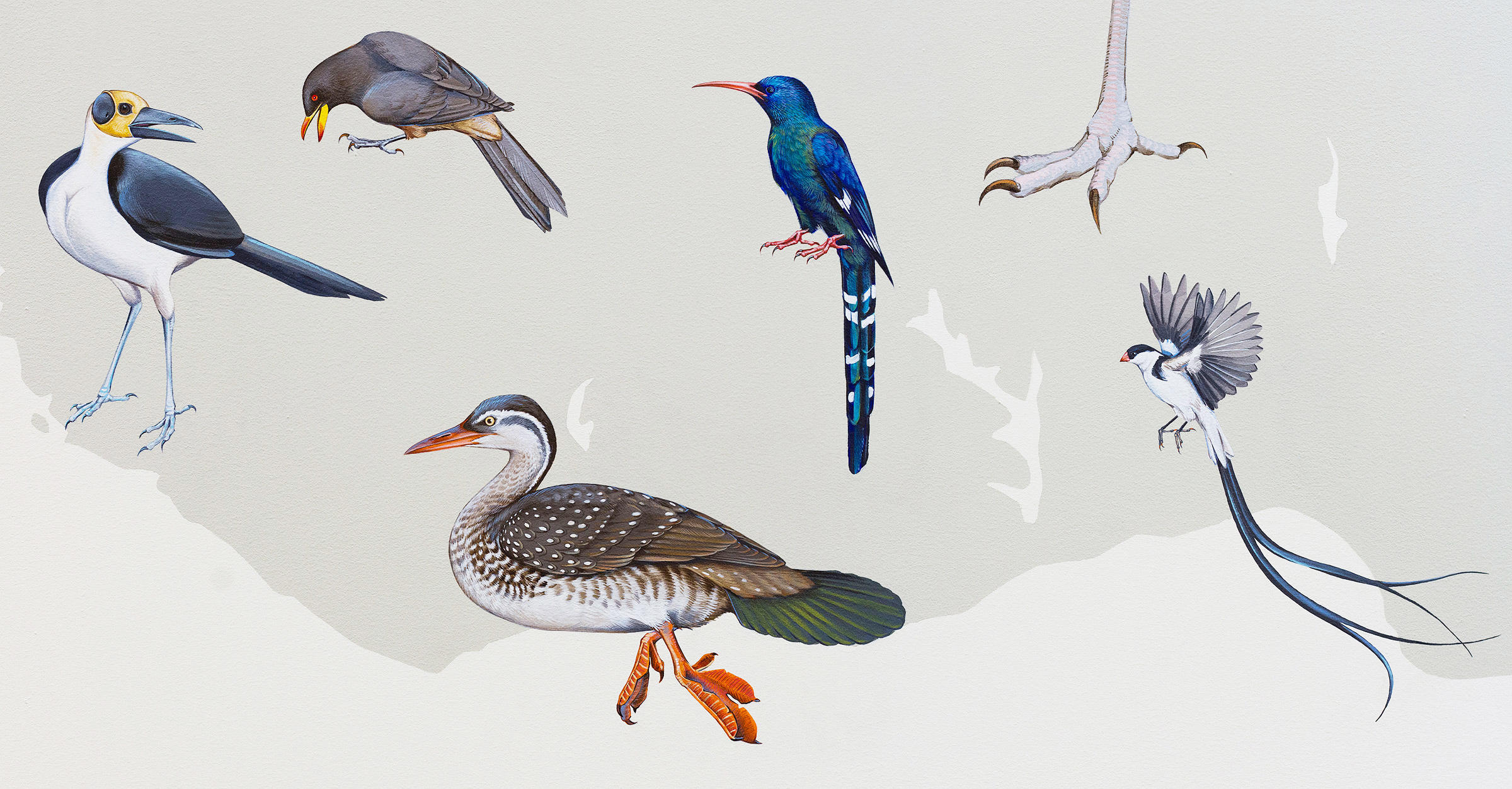 """Clockwise from left to right: White-necked Rockfowl, Yellow-billed Oxpecker, Green Woodhoopoe, foot of Secretary Bird, Pin-tailed Wydah, African Finfoot. Courtesy of <a href=""""http://inkdwell.com/"""">Ink Dwell</a>"""