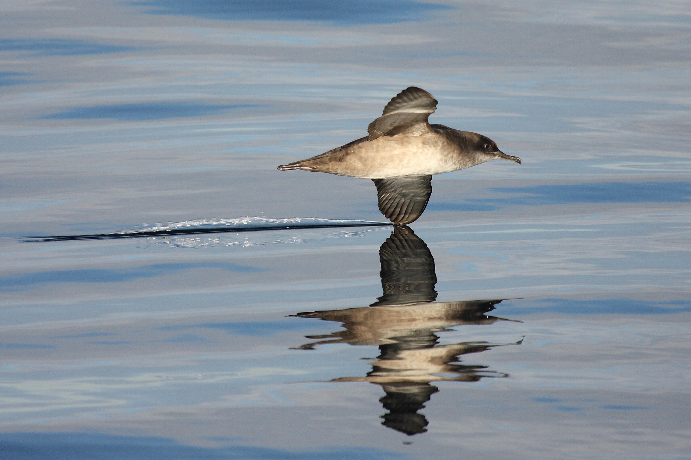 The Balearic Shearwater, Europe's most endangered seabird, is also affected by light pollution. Beneharo Rodríguez