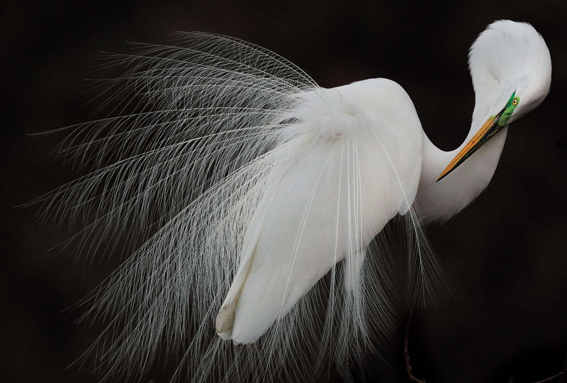Great Egret. Melissa Groo/Audubon Photography Awards