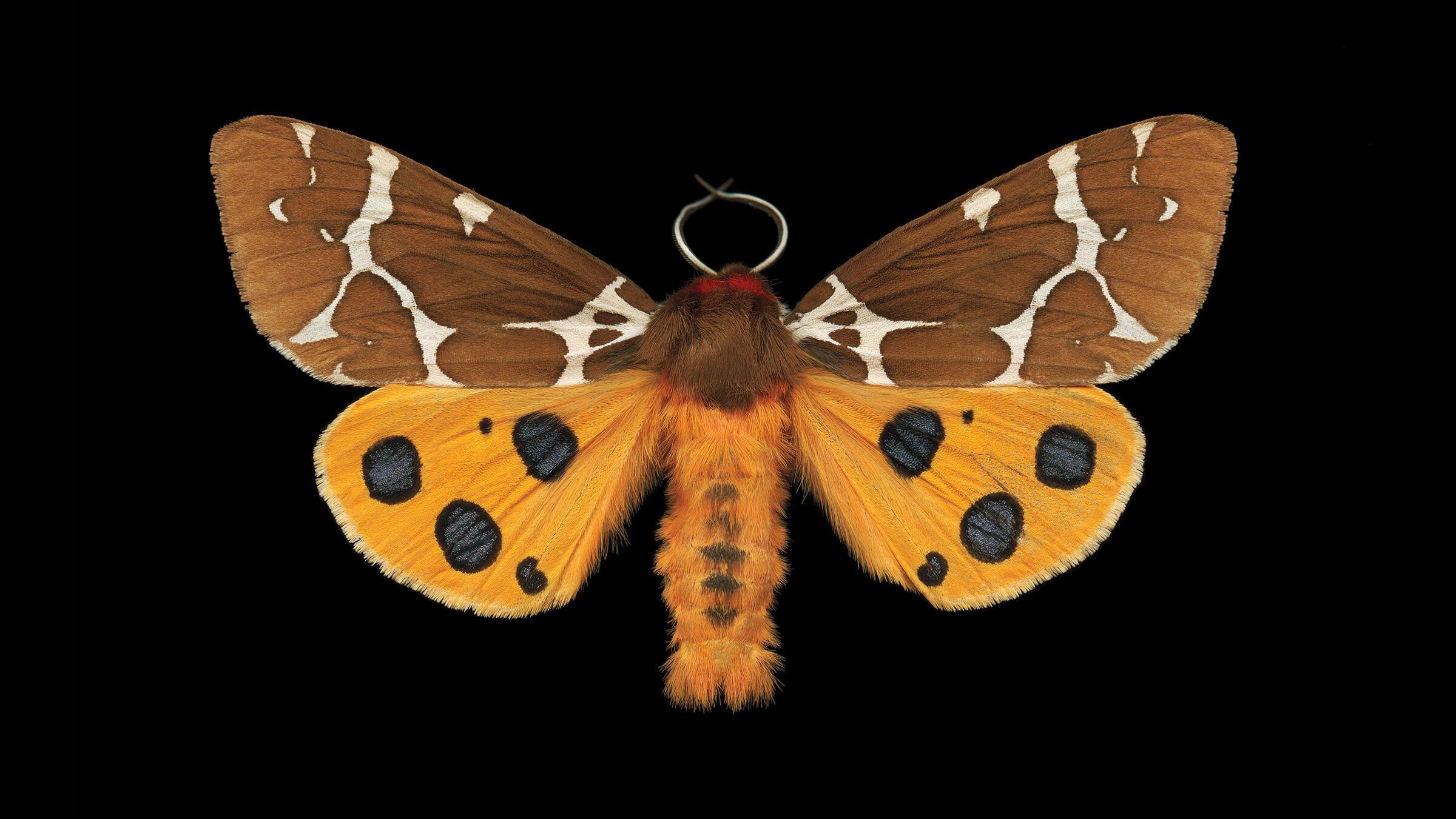 Great Tiger Moth. Jim des Ricières