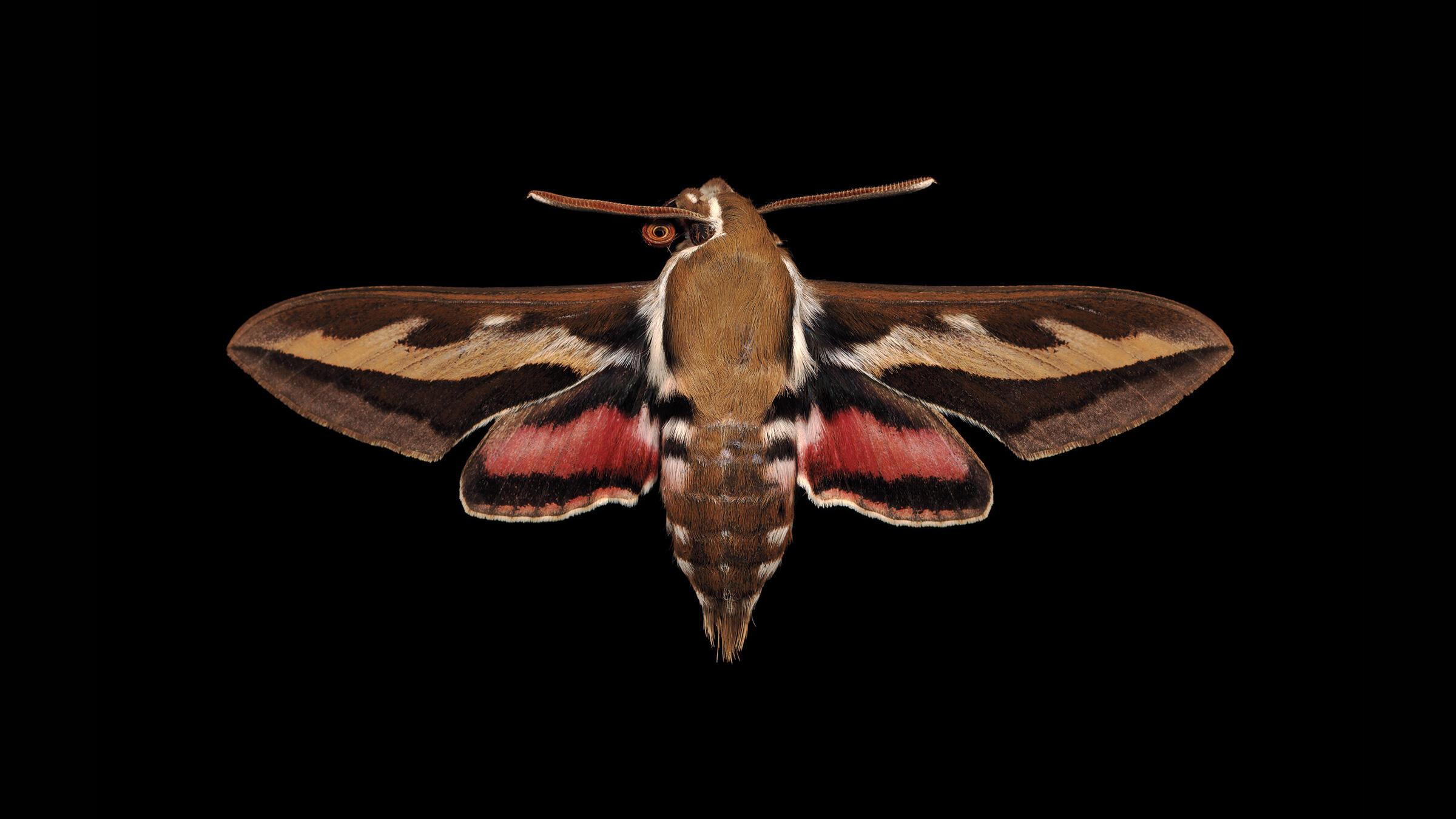 Bedstraw Hawk Moth. Jim des Ricières
