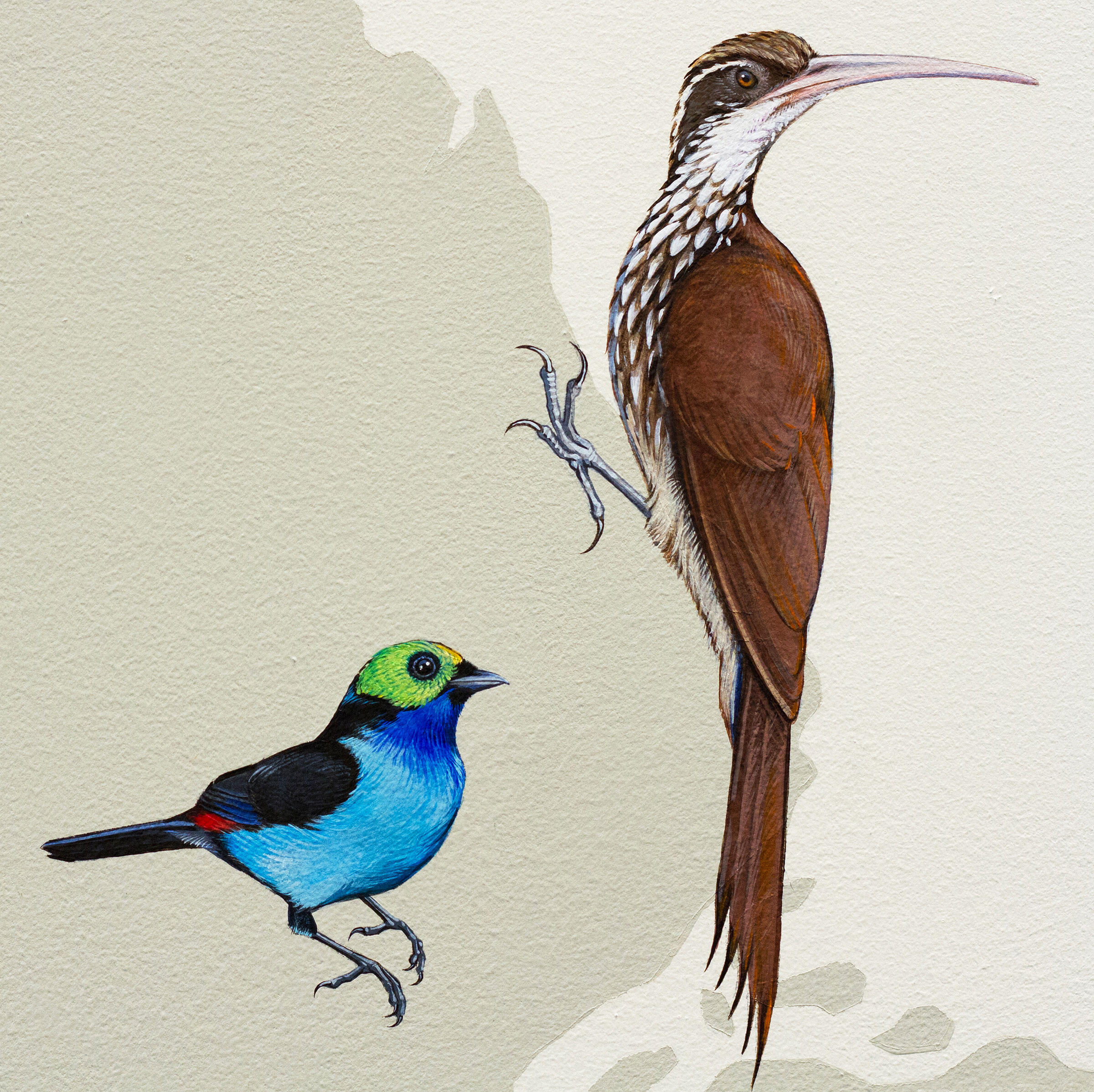 """From left to right: Paradise Tanager and Long-billed Woodcreeper. Courtesy of <a href=""""http://inkdwell.com/"""">Ink Dwell</a>"""
