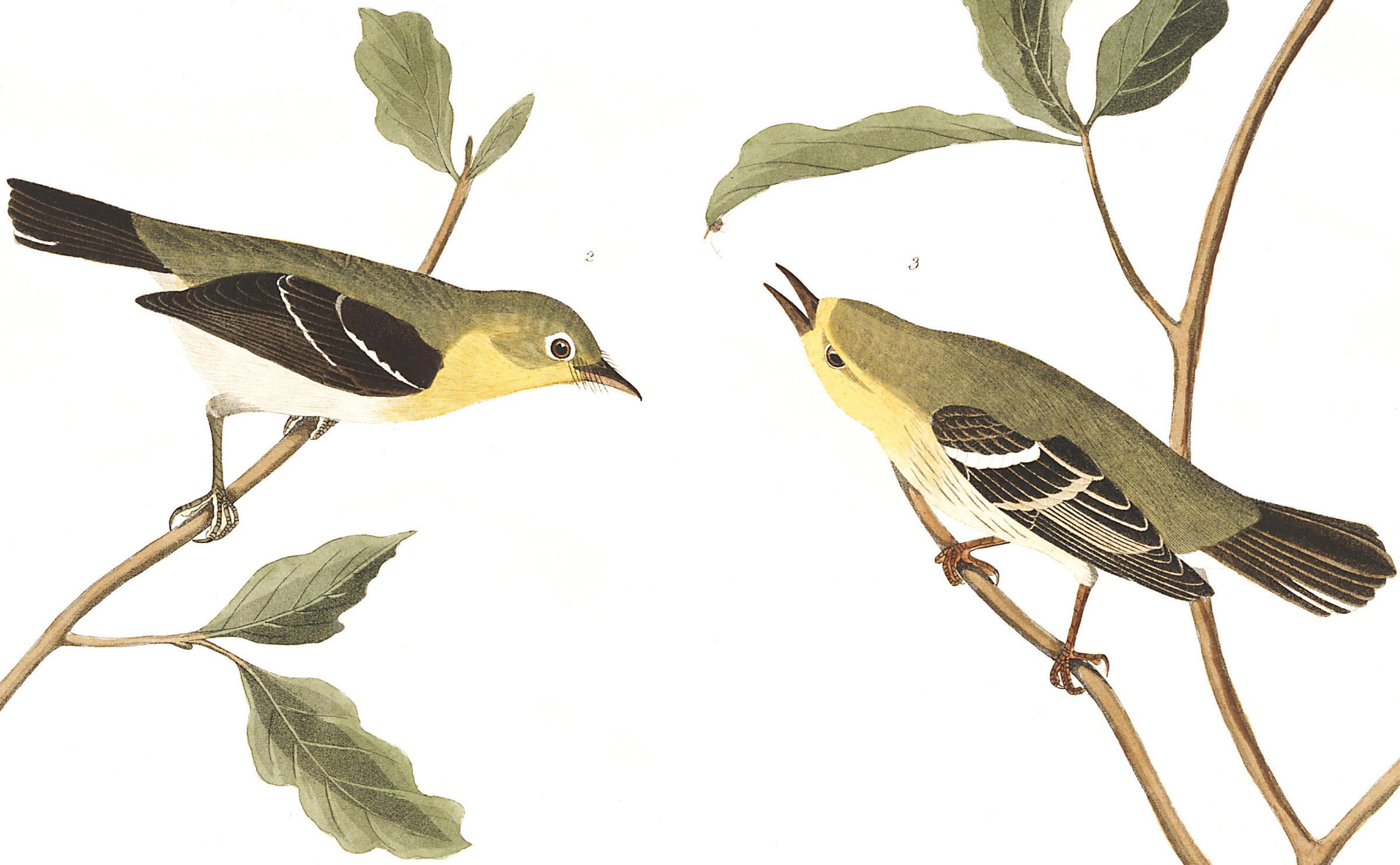 From left: Small-headed Flycatcher and Blue Mountain Warbler. Illustration: John James Audubon