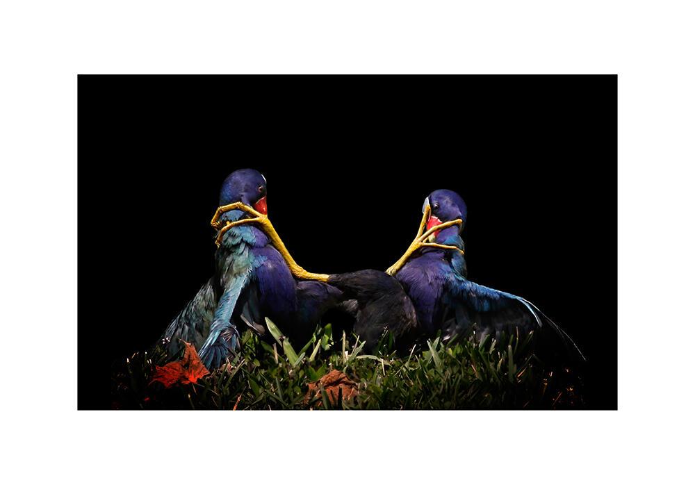 Purple Gallinule. Mary Angela Luzader/Audubon Photography Awards