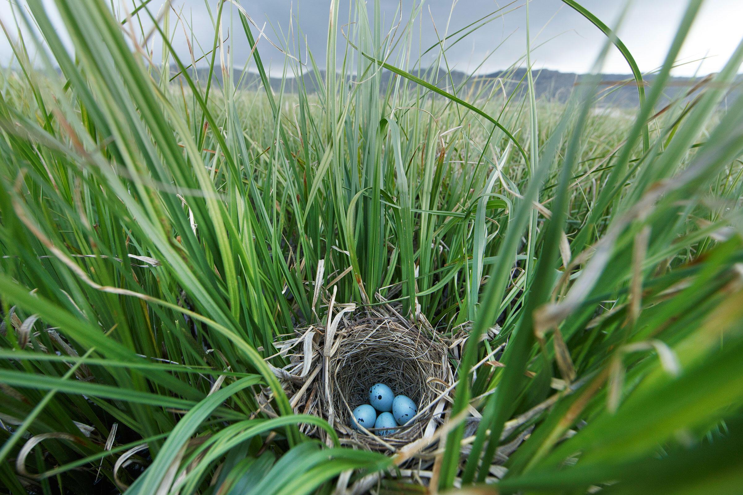 Red-winged Blackbird eggs. Gerrit Vyn