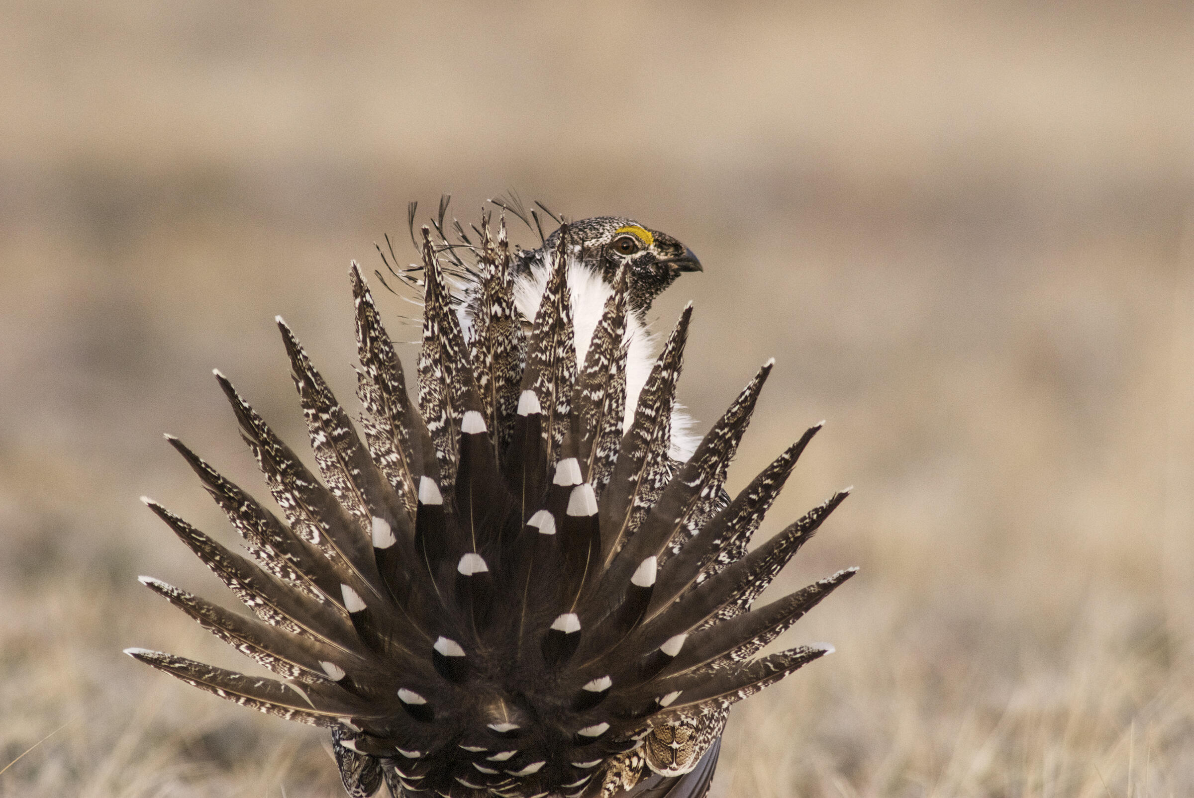 Greater Sage-Grouse males fan spiky tail feathers while displaying to impress females. Sublette County, Wyoming. Dave Showalter