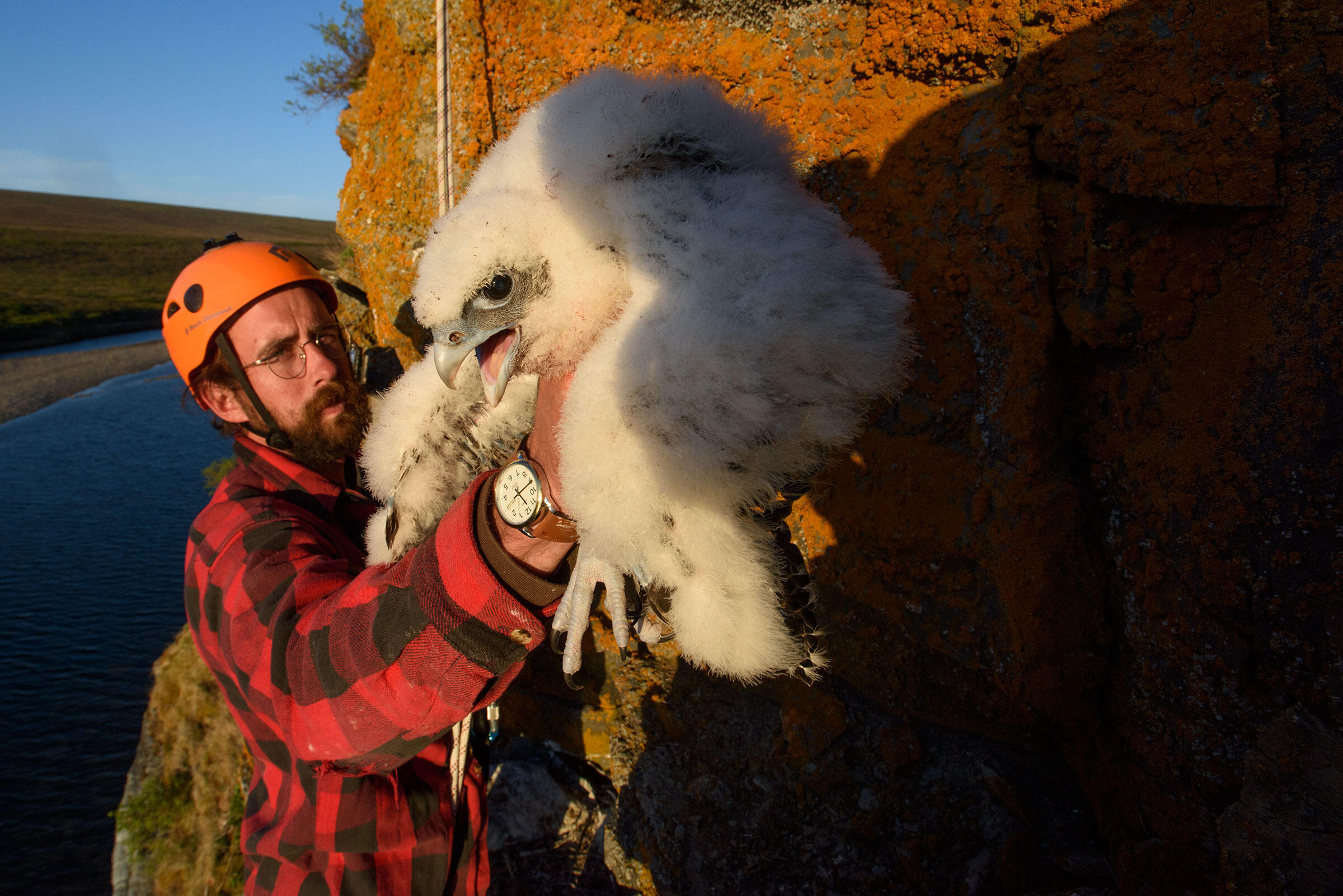 Robinson extracts an unfledged Gyrfalcon from its nest so it can be banded, weighed, and measured. His Gyr study is the largest ever conducted. Gerrit Vyn