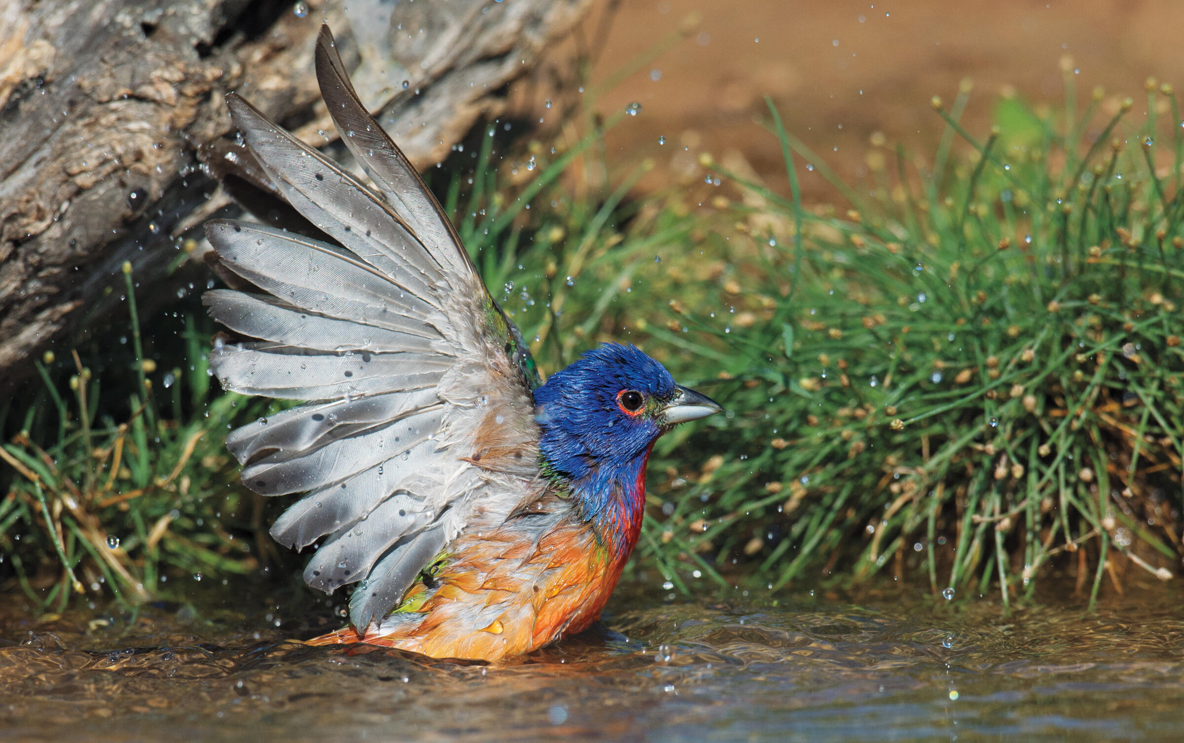 Painted Bunting. Zachary Webster/Audubon Photography Awards