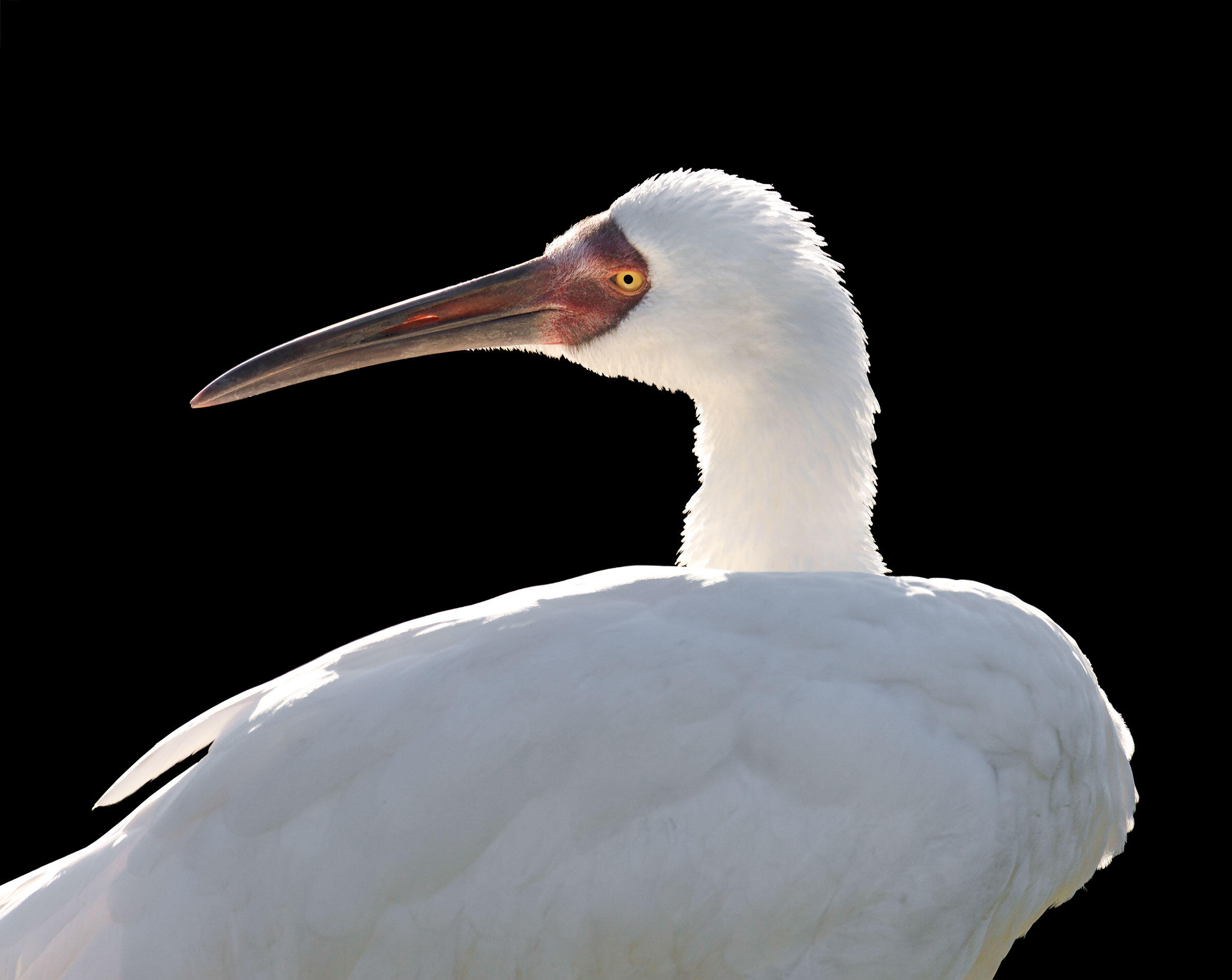 The Siberian Crane is a critically endangered species, numbering at around 3,000 birds. Nearly all of the birds winter at Poyang Lake in China, which is threatened by continuing development, sand mining, and a planned dam. Ted Thousand