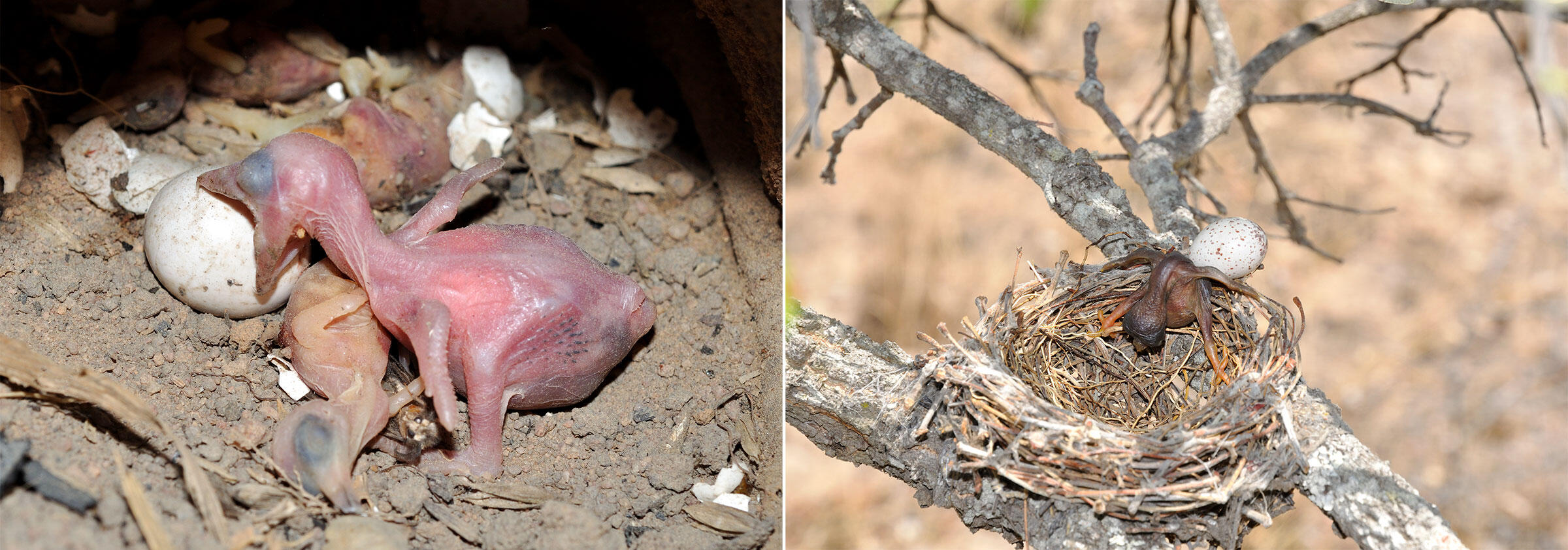 Left: Honeyguide chick attacking and stabbing bee-eater host chicks; Right: African Cuckoo hatchling ejects the host egg of a Fork-tailed Drongo. Photos: Claire Spottiswoode