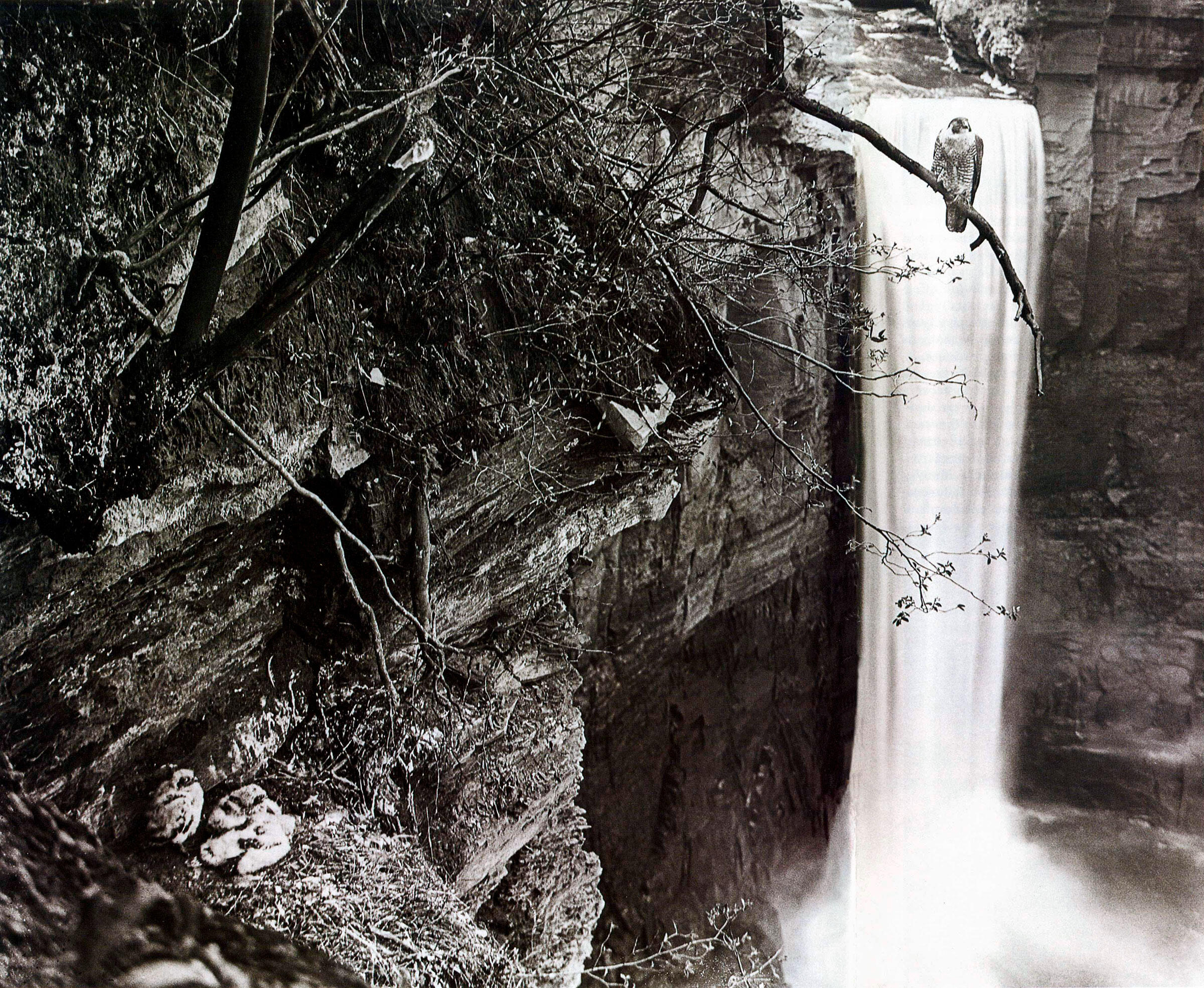 Allen's famous photograph of the Peregrine Falcons nesting beside Taughannock Falls in the 1930s. Arthur A. Allen