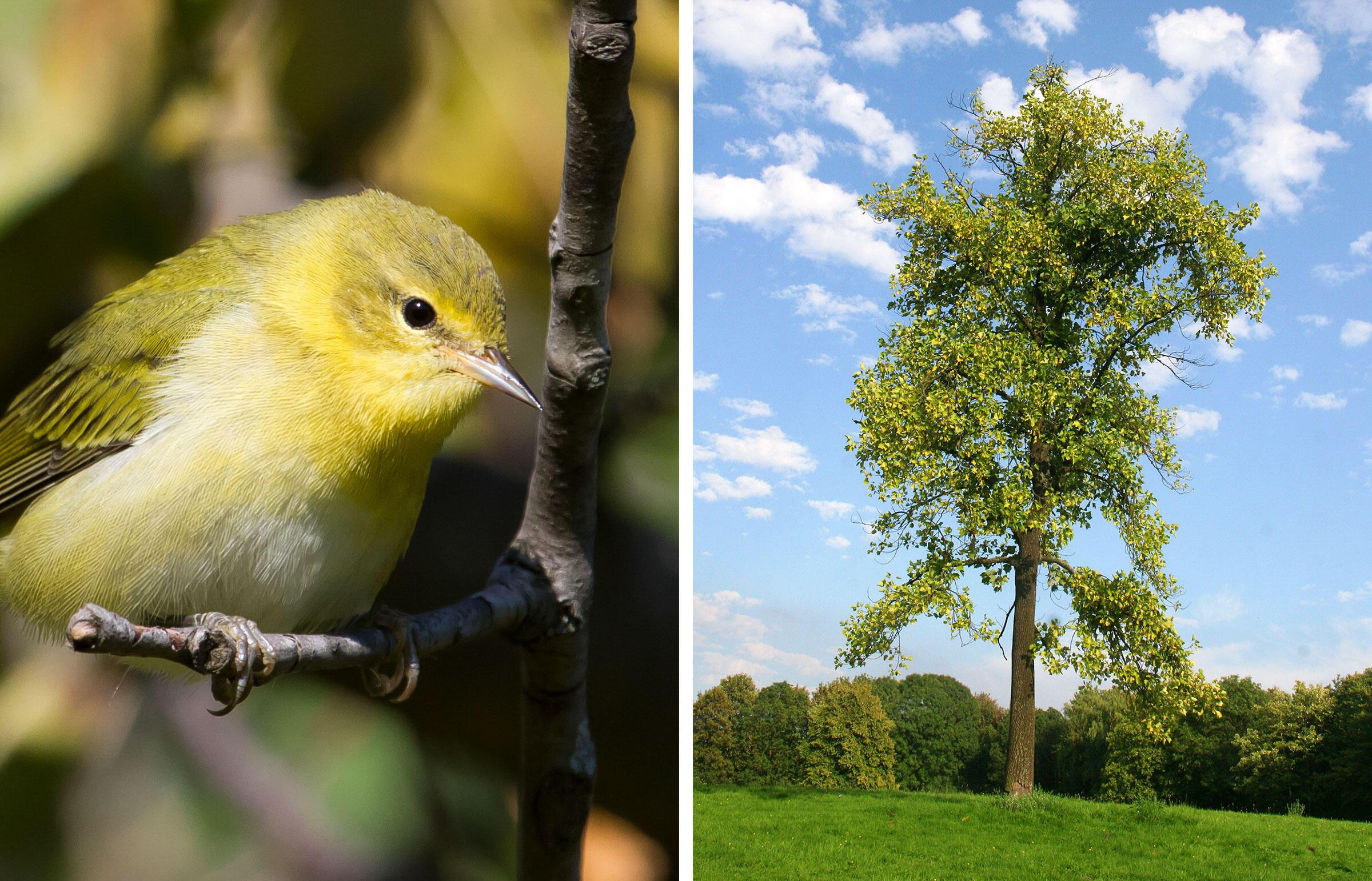From left: Tennessee Warbler. Photo: Frode Jacobsen; Tulip tree. Photo: blickwinkel/Alamy