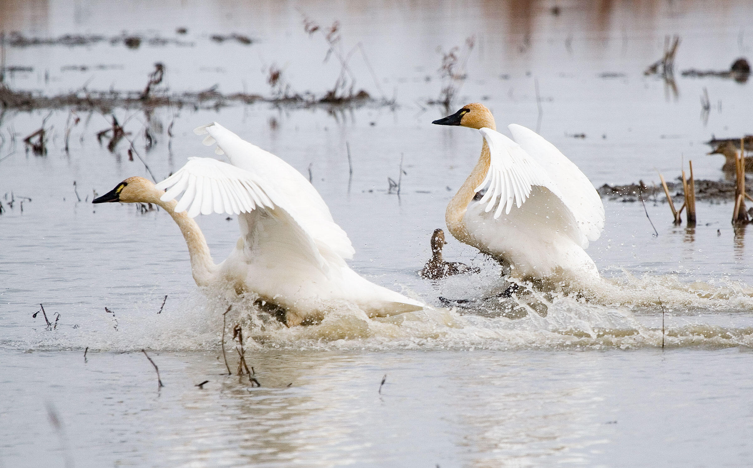 Waterfowl like these Tundra Swans have a typical window of time for their migrations, but they also need open water. An unusually cold spring may delay their northward migration until their habitat thaws. Kenn Kaufman