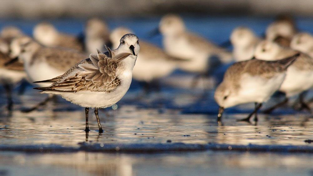 (Real) Sanderlings. Patul Rich/Audubon Photography Awards