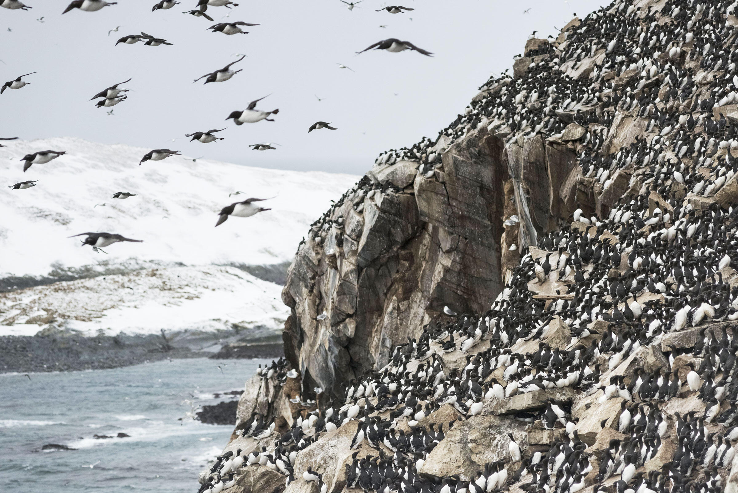 Common Murre nesting colonies are filthy and packed—both features that researcher Tim Birkhead believes influenced murre egg shape over millions of years. Orsolya Haarberg/NPL/Minden Pictures