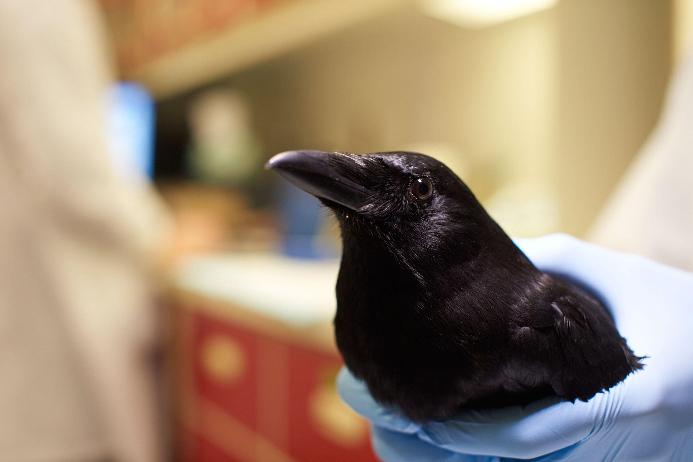 A researcher secures the crow as it revives Andy Reynolds