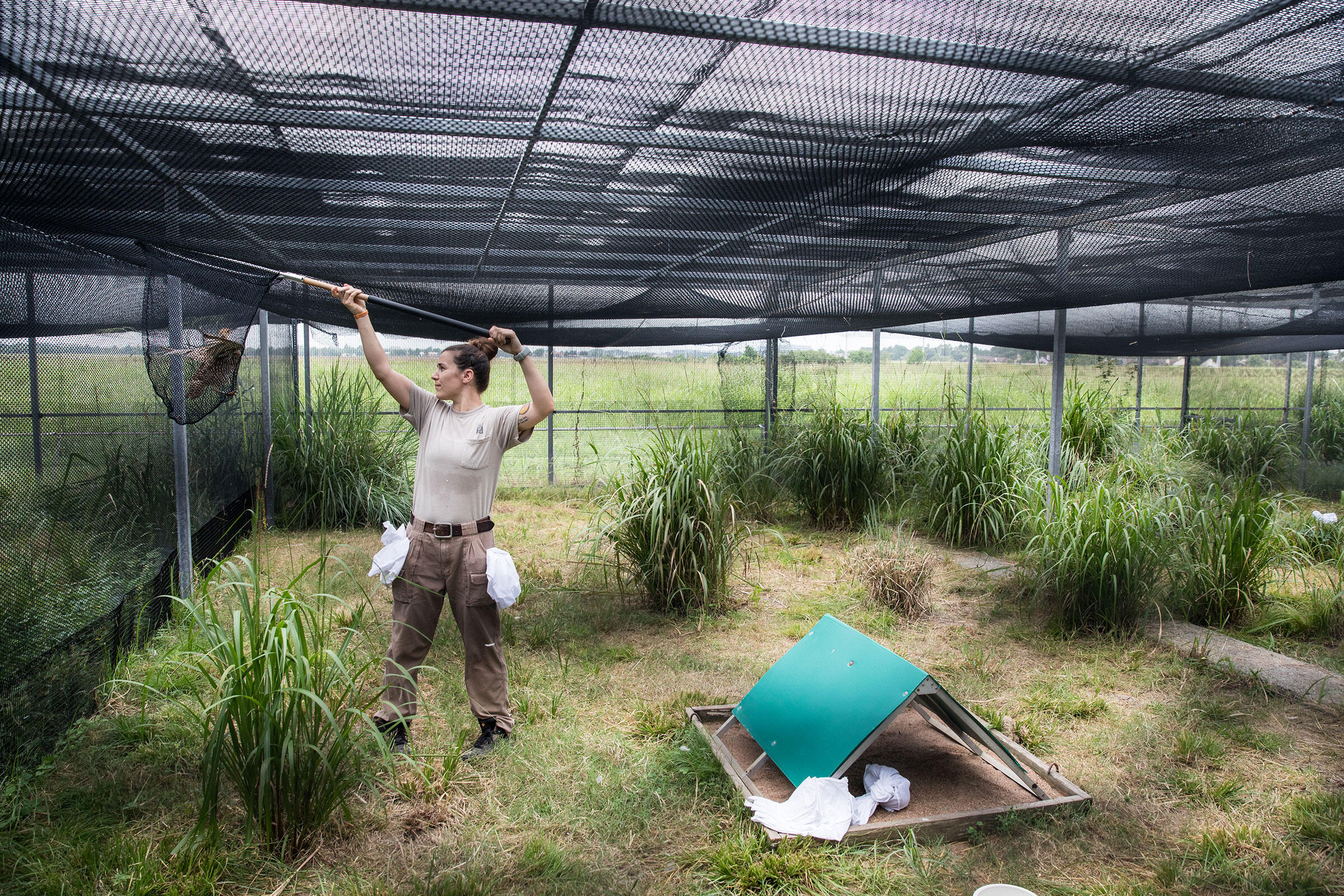 April Zimpel of the Houston Zoo catches an Attwater's Prairie-Chicken in a breeding pen at NASA. The pens are planted with tall grasses so female chickens have places to hide and rest. Scott Dalton