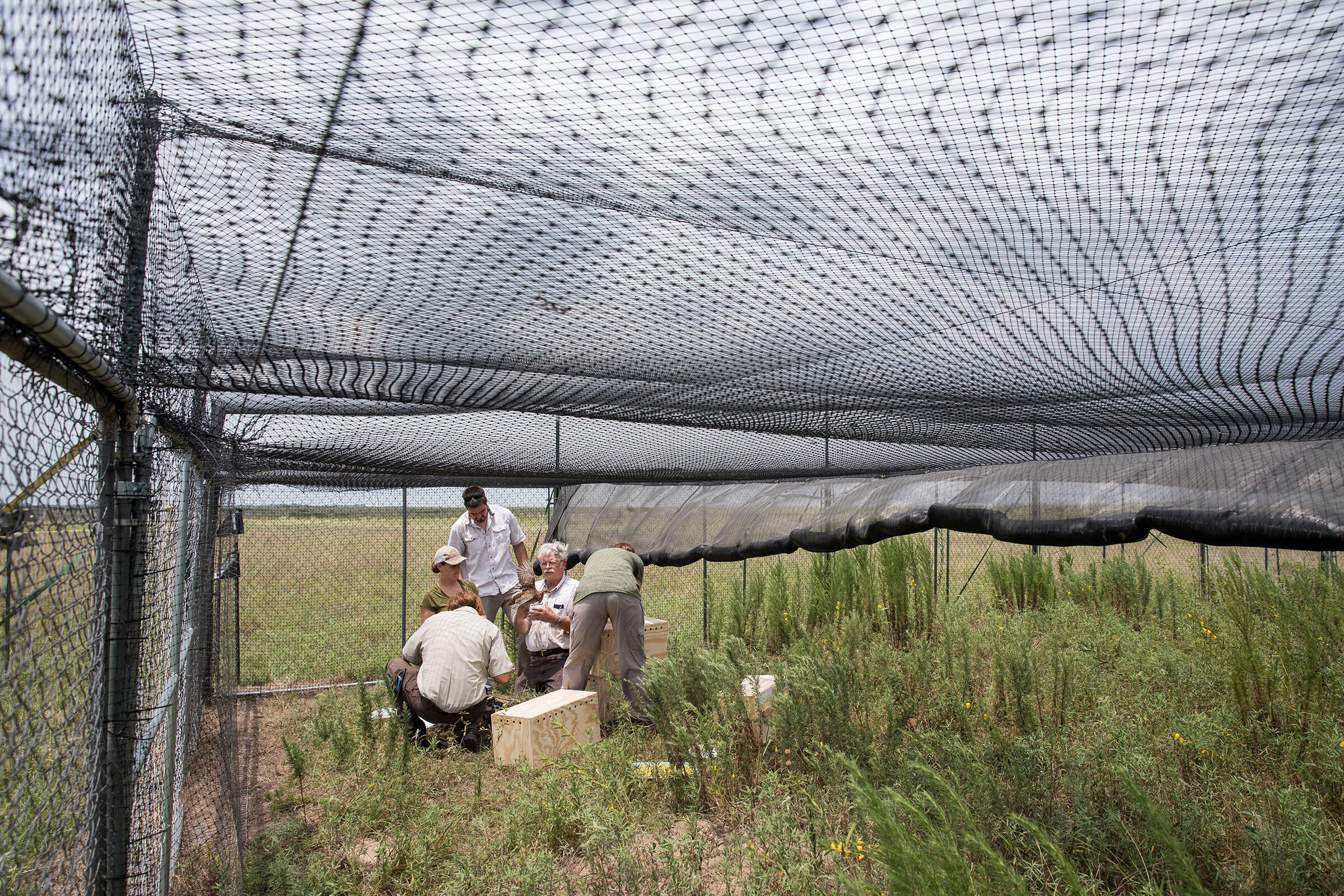 Mike Morrow, an ecologist at Attwater's Prairie-Chicken National Wildlife Refuge, inspects a critically endangered prairie-chicken that has just arrived at the refuge. Scott Dalton