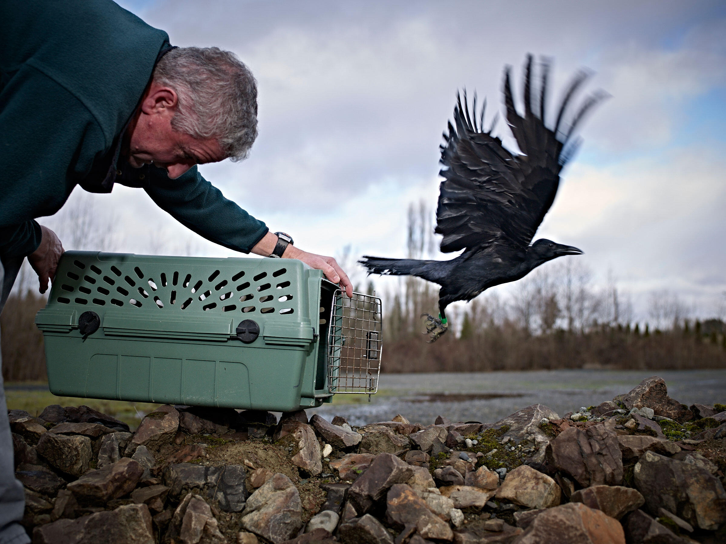 Marzluff releases a batch of research crows outside Seattle at the same place they were captured. Andy Reynolds