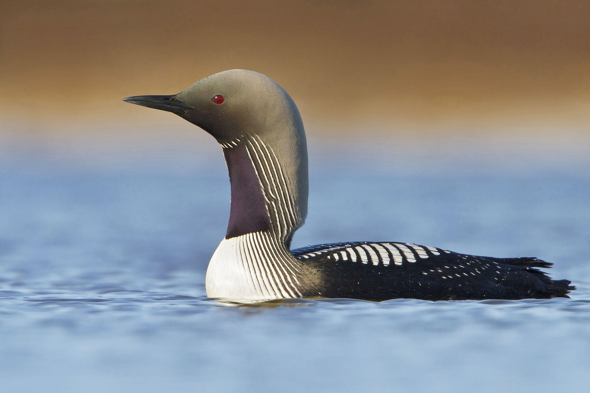 Pacific Loon. Glenn Bartle/BIA/Minden Pictures