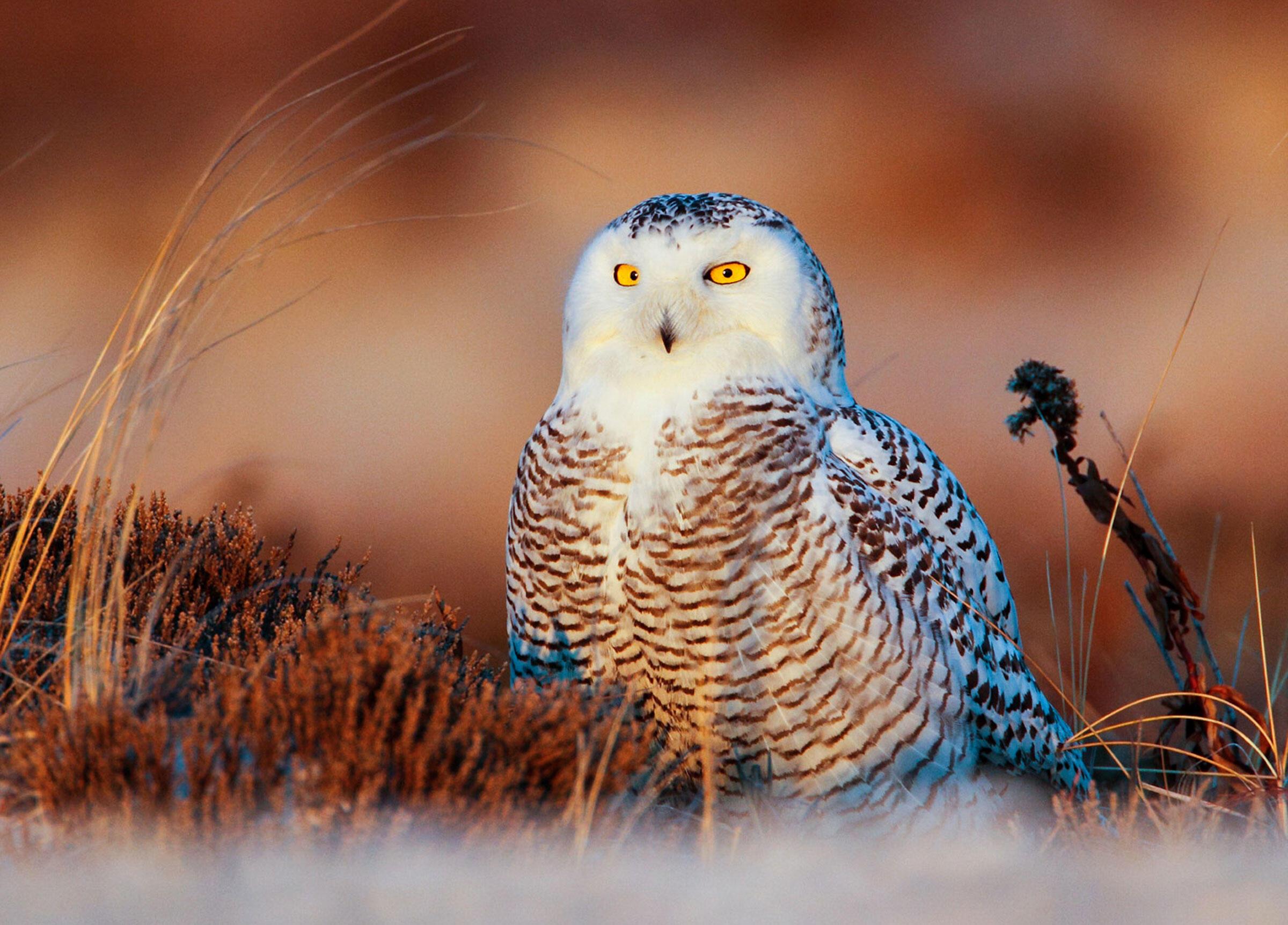 Snowy Owl. Steven Sachs/Audubon Photography Awards