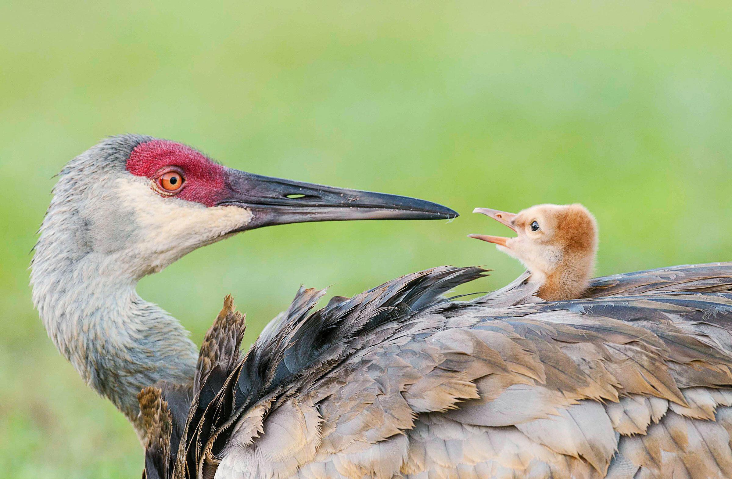 Sandhill Cranes. Ursula Dubrick/Audubon Photography Awards