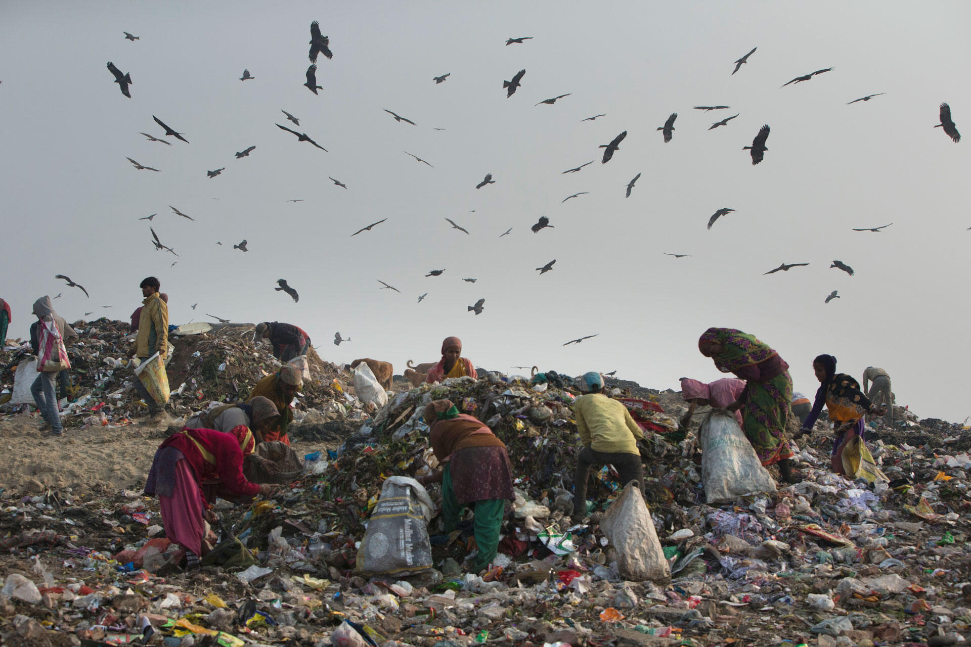 Black Kites circle over Ghazipur dump, waiting to swoop down and grab morsels uncovered by garbage pickers. Luke Massey