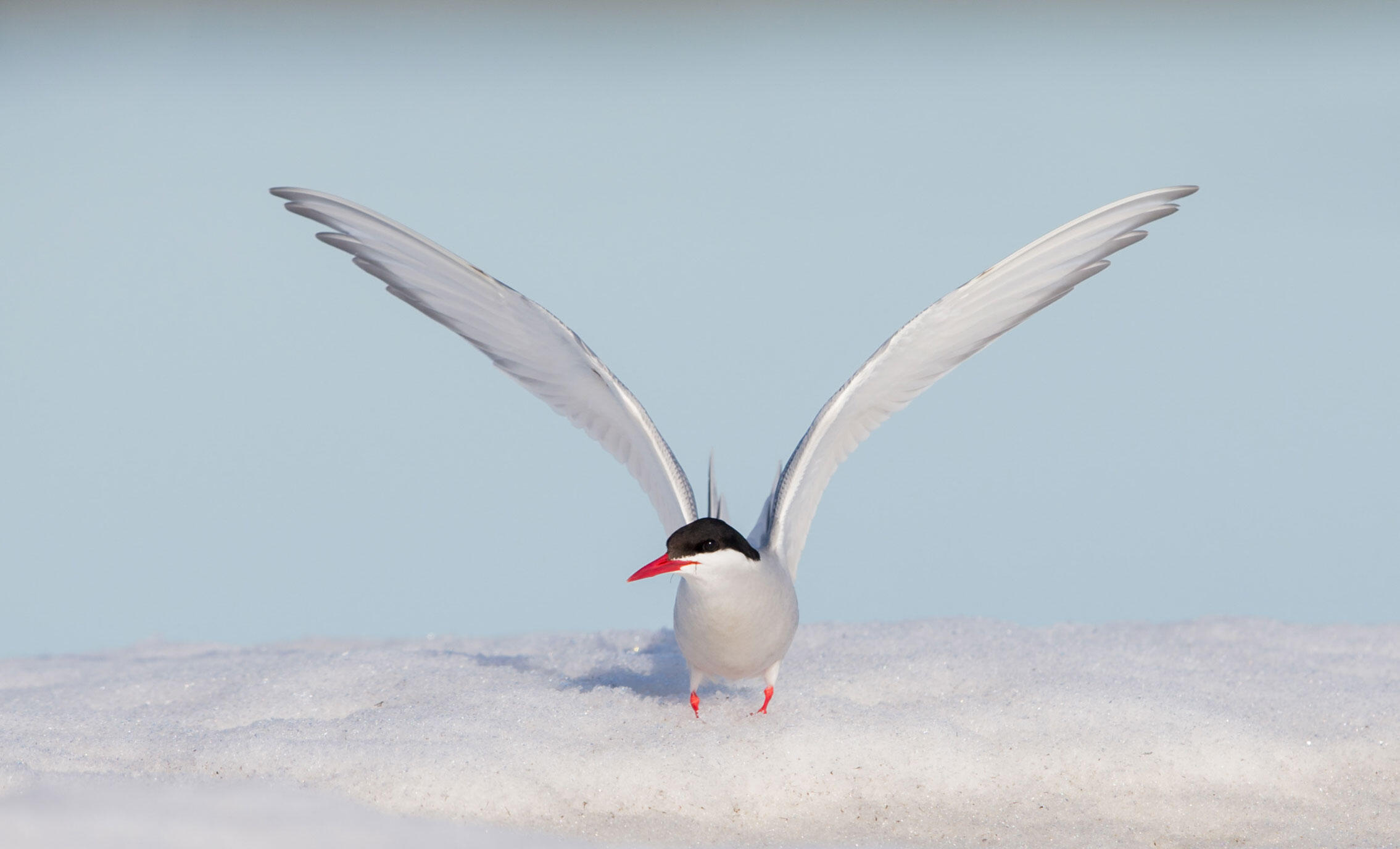 Arctic Tern. William Wingfield/Audubon Photography Awards