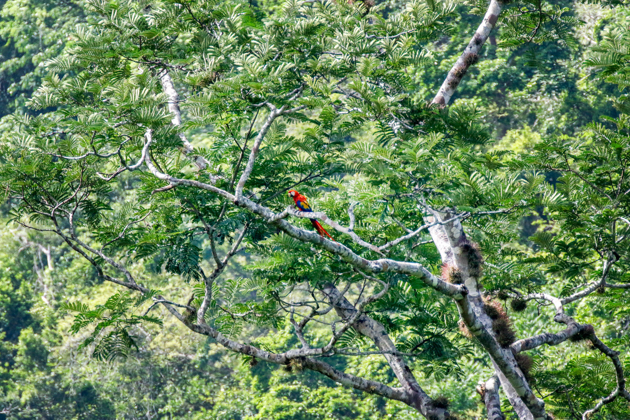 A Scarlet Macaw sits in the upper branches of a quamwood tree in Belize. Camilla Cerea/Audubon