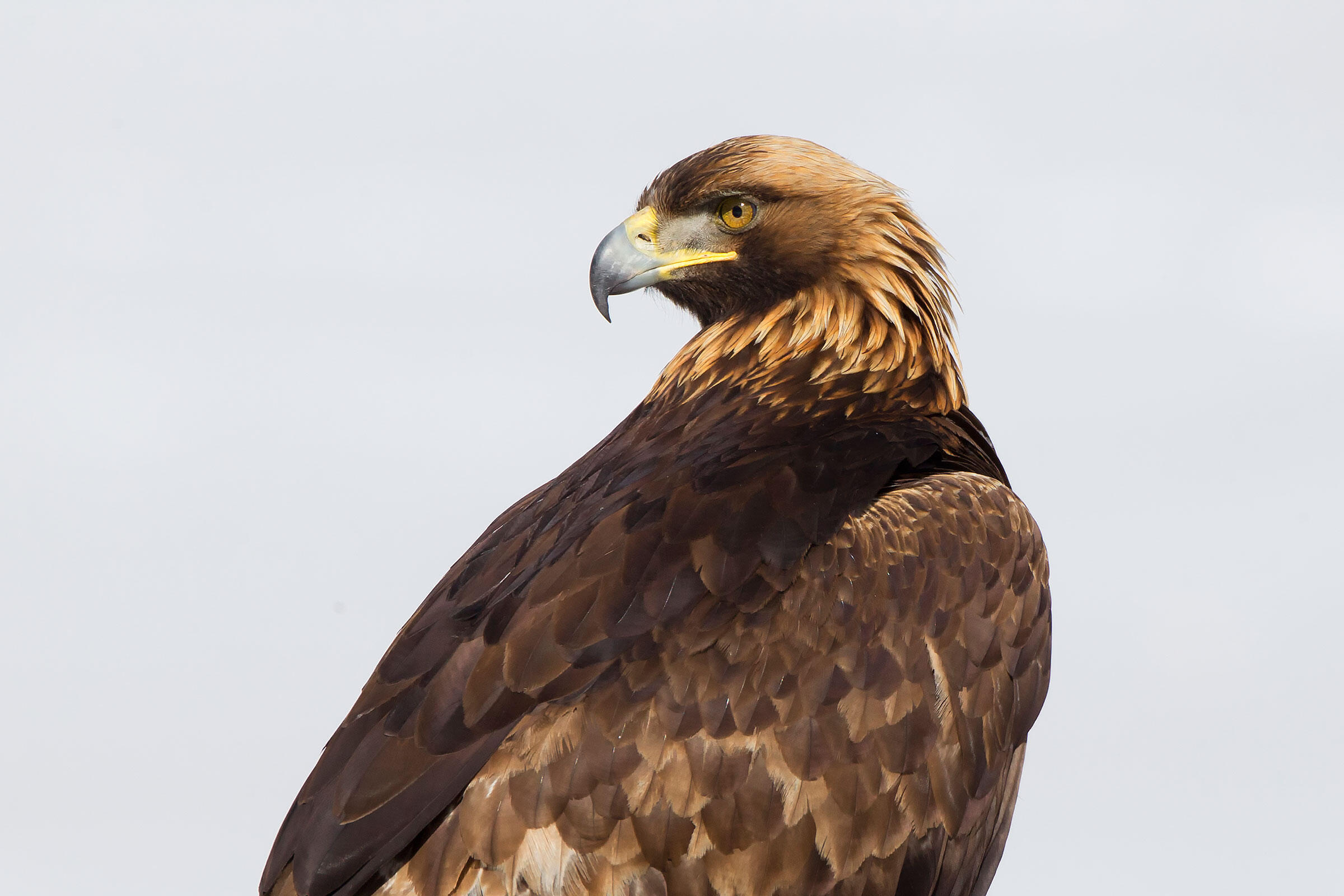 Golden Eagle. Robbie George/National Geographic Creative