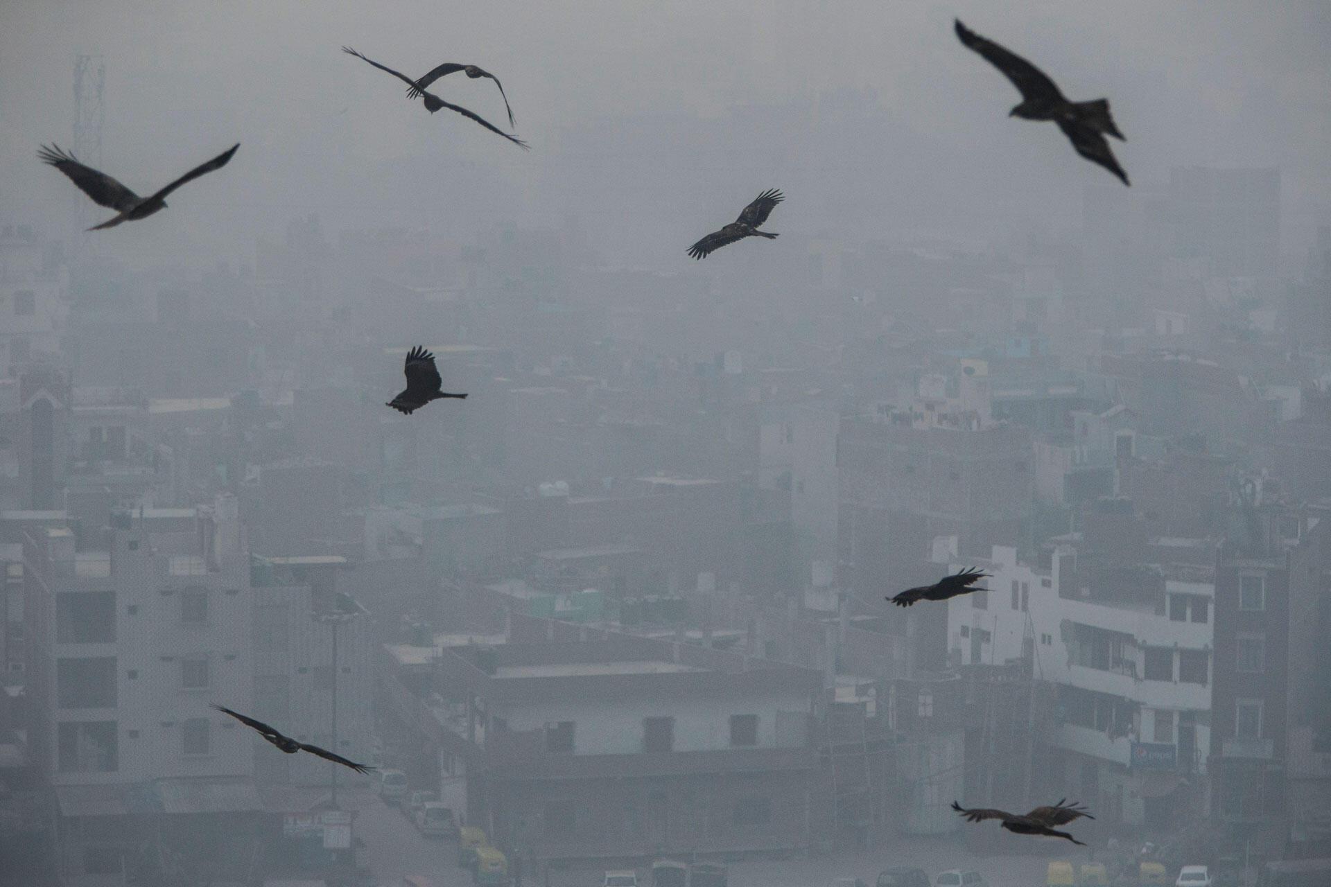 Kites circle in the early morning smog over Delhi. Luke Massey