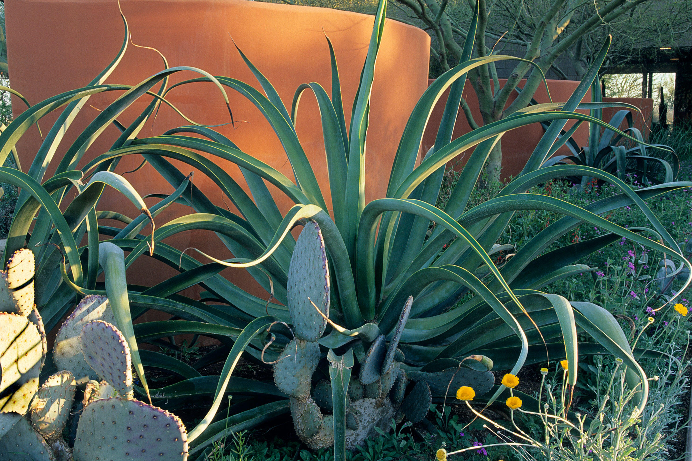 """This """"Arid Zone Trees"""" landscape was designed by Steve Martino in Santa Fe, New Mexico. It holds cacti such as Octopus agave, prickly pear, and a species of Opuntia, along with desert marigold and a palo verde tree. Charles Mann"""