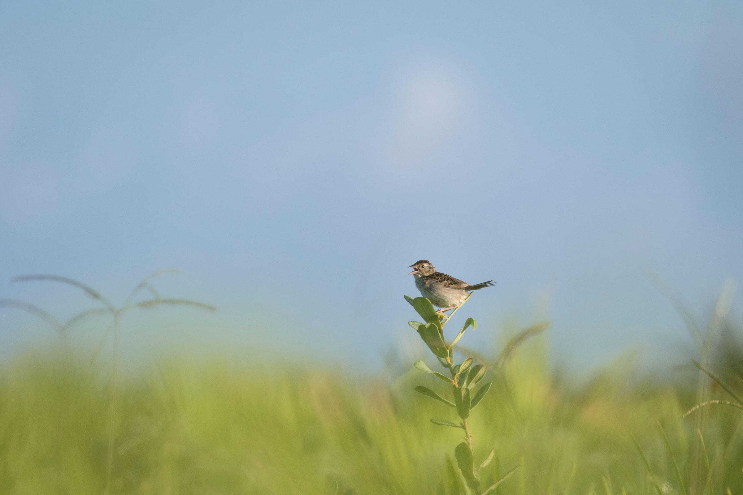 A Florida Grasshopper Sparrow calls from a perch on a private ranch in south Florida. Biologists use these vocalizations to help locate inconspicuous nests throughout the year. Mac Stone