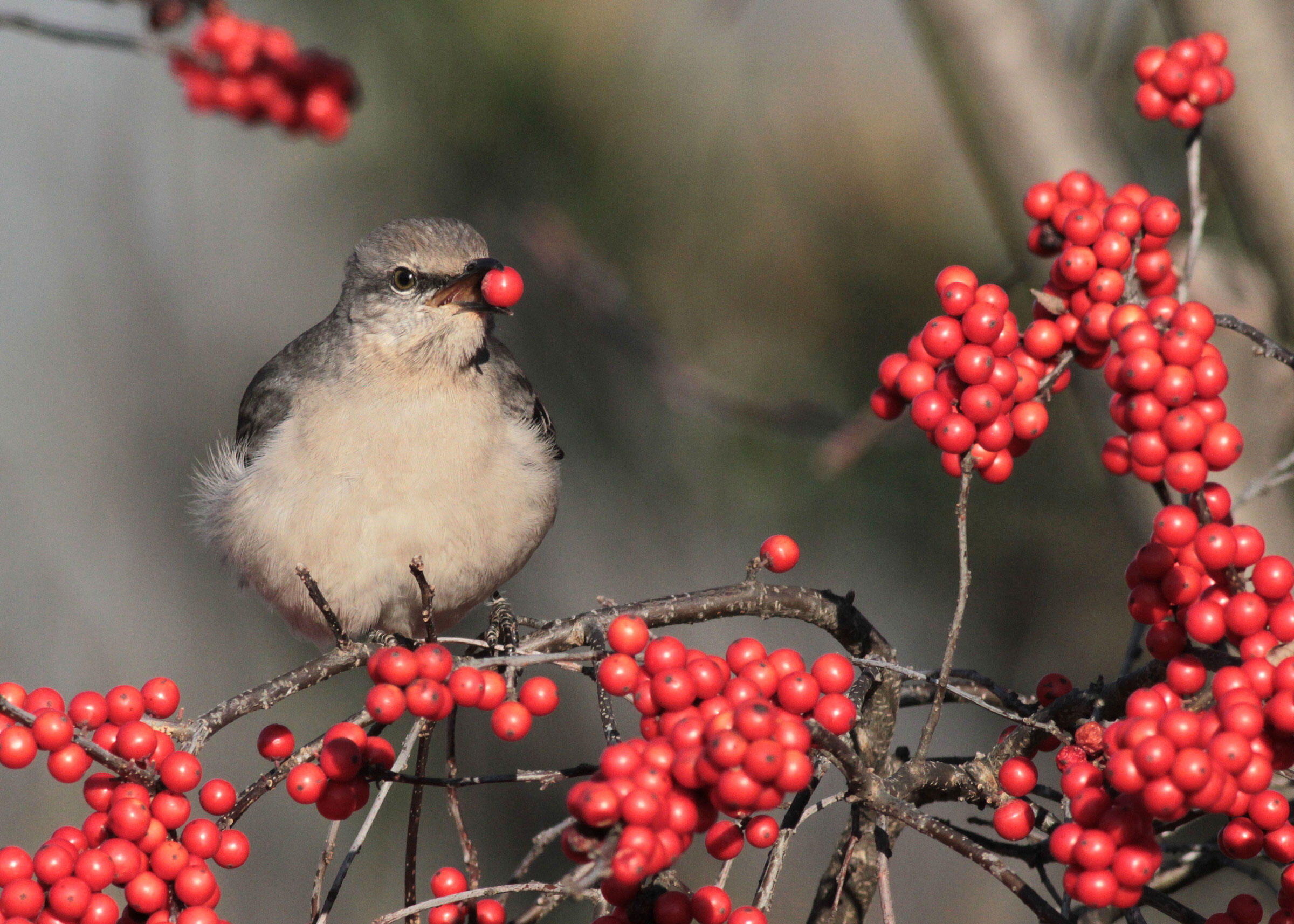 A Northern Mockingbird rests on a common winterberry holly. Will Stuart