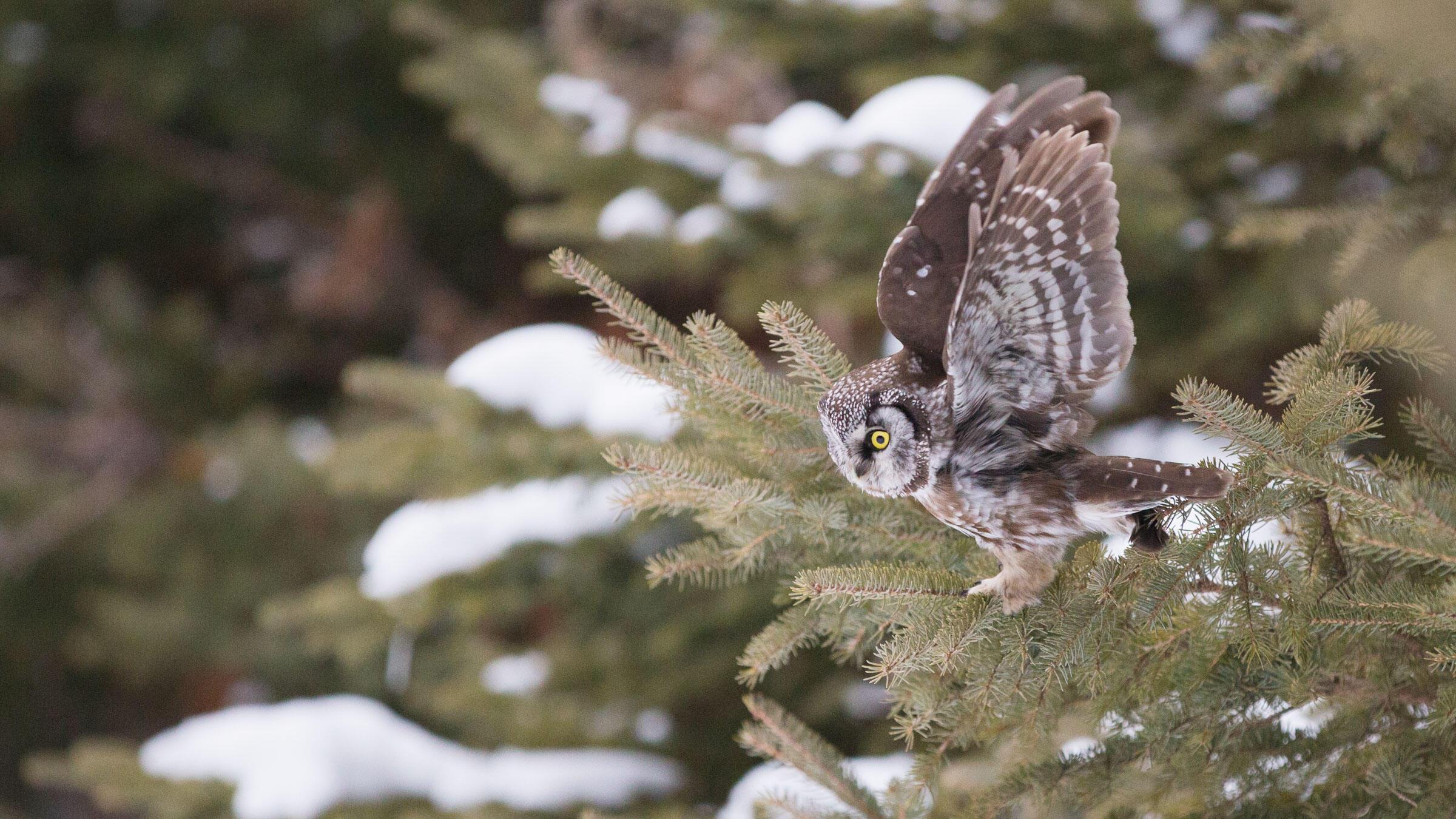 Un mochuelo boreal en Alaska levanta sus alas un instante antes de emprender el vuelo en busca de presas.