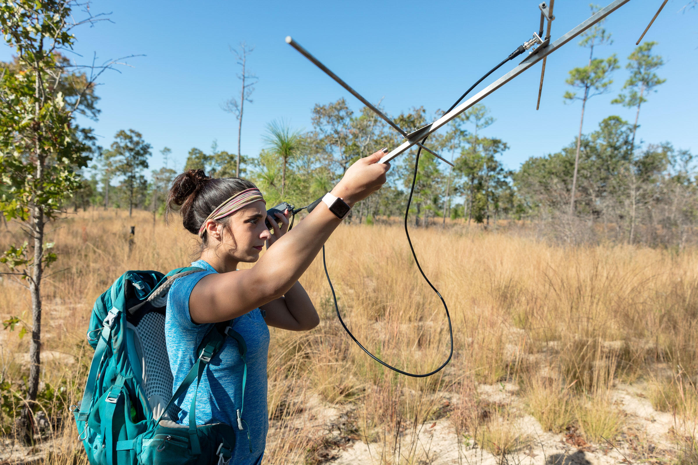 Sara Piccolomini, a researcher at Auburn University, tracks radio-tagged indigo snakes recently released at the Apalachicola Bluffs and Ravines Preserve in Florida. Cary Norton