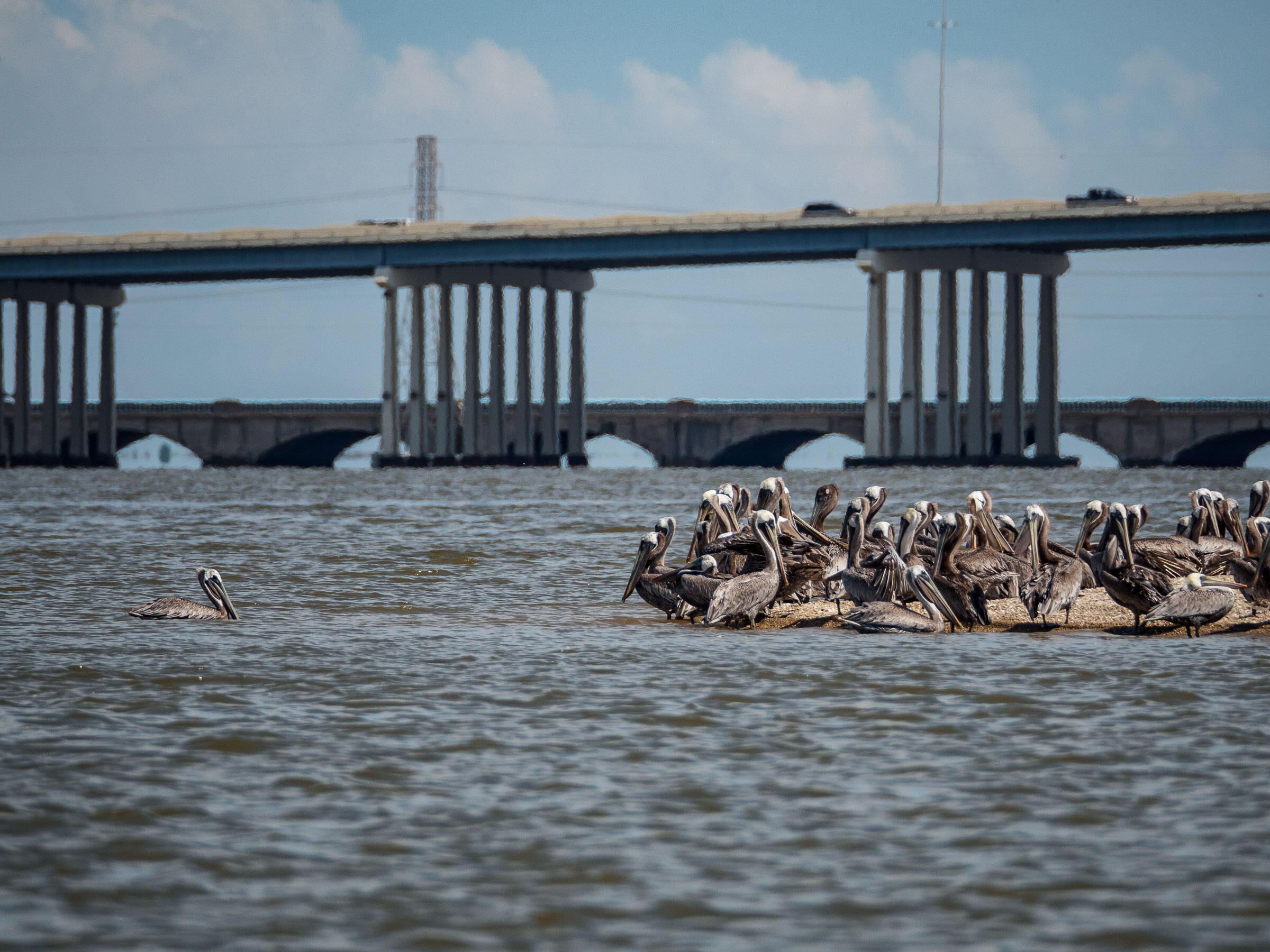 Brown Pelicans cluster on a small sandbar island in Galveston Bay. Preeti Desai/Audubon