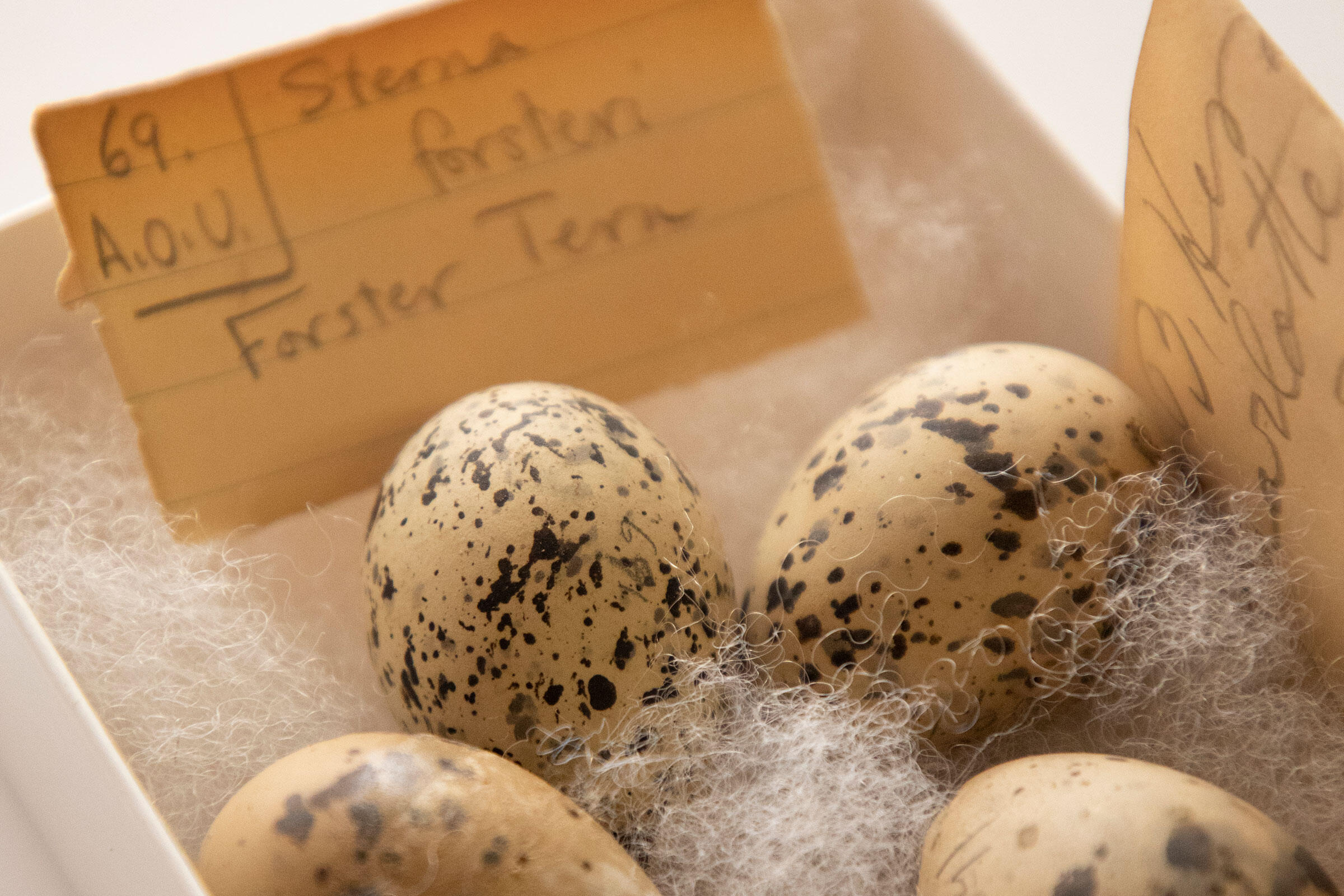Eggs from the collection of Charles Pennock at The Academy of Natural Sciences of Drexel University in Philadelphia, Pennsylvania.