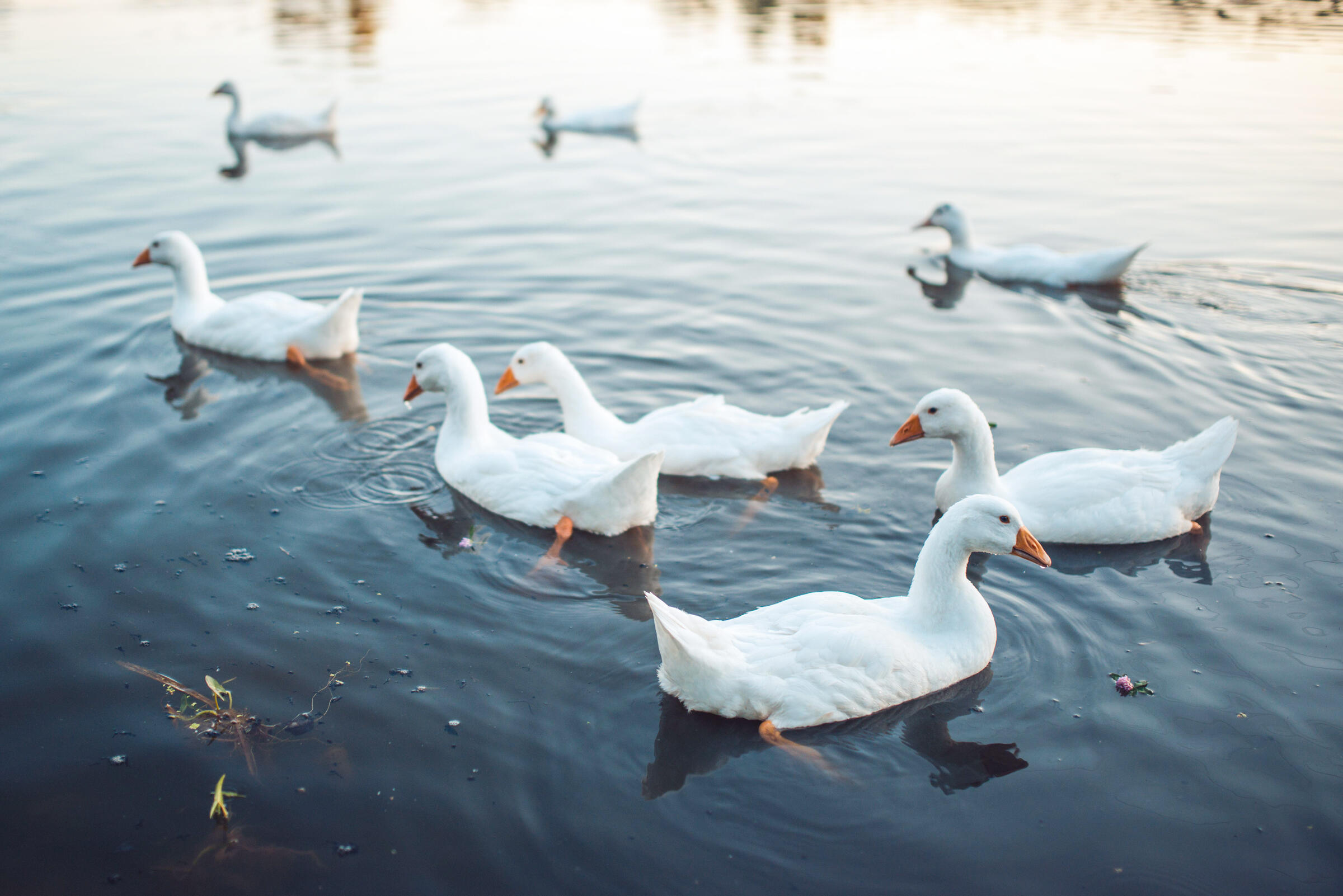 A flock of domestic geese. Zoonar GmbH/Alamy