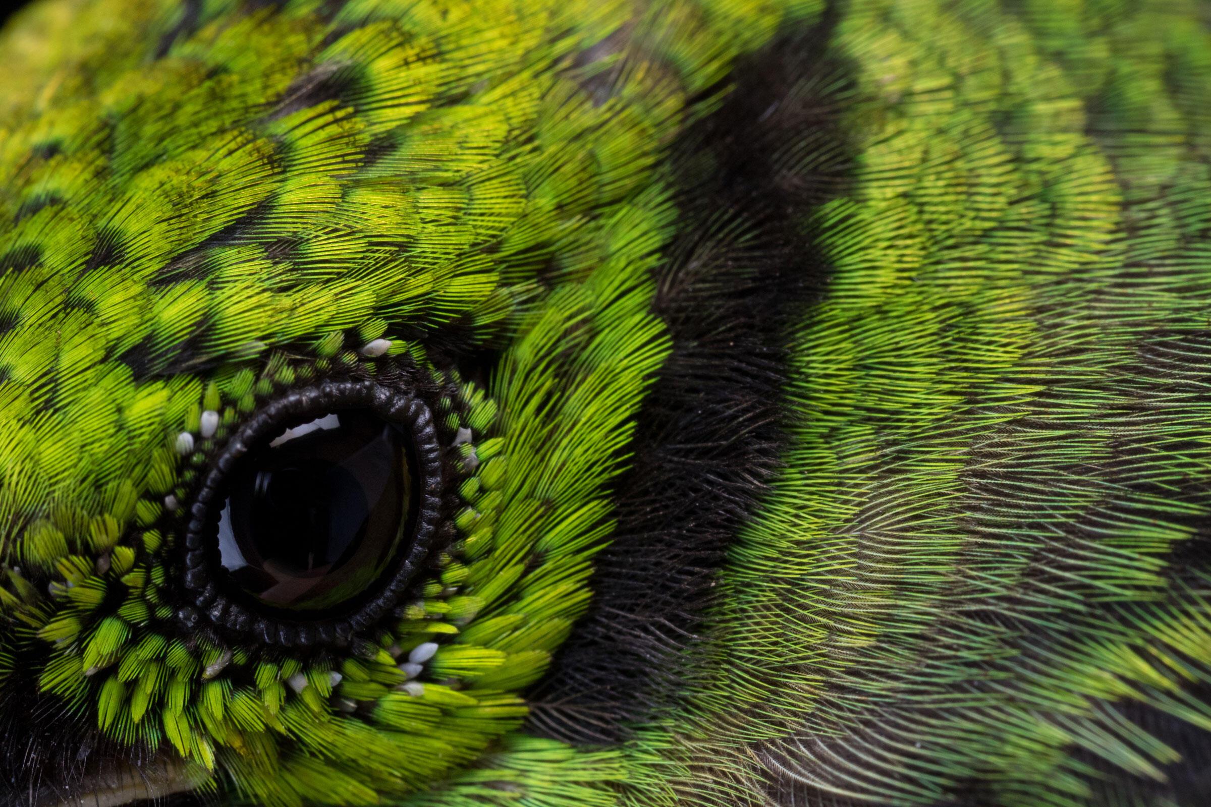 Emerald Tanager. Sean Graesser