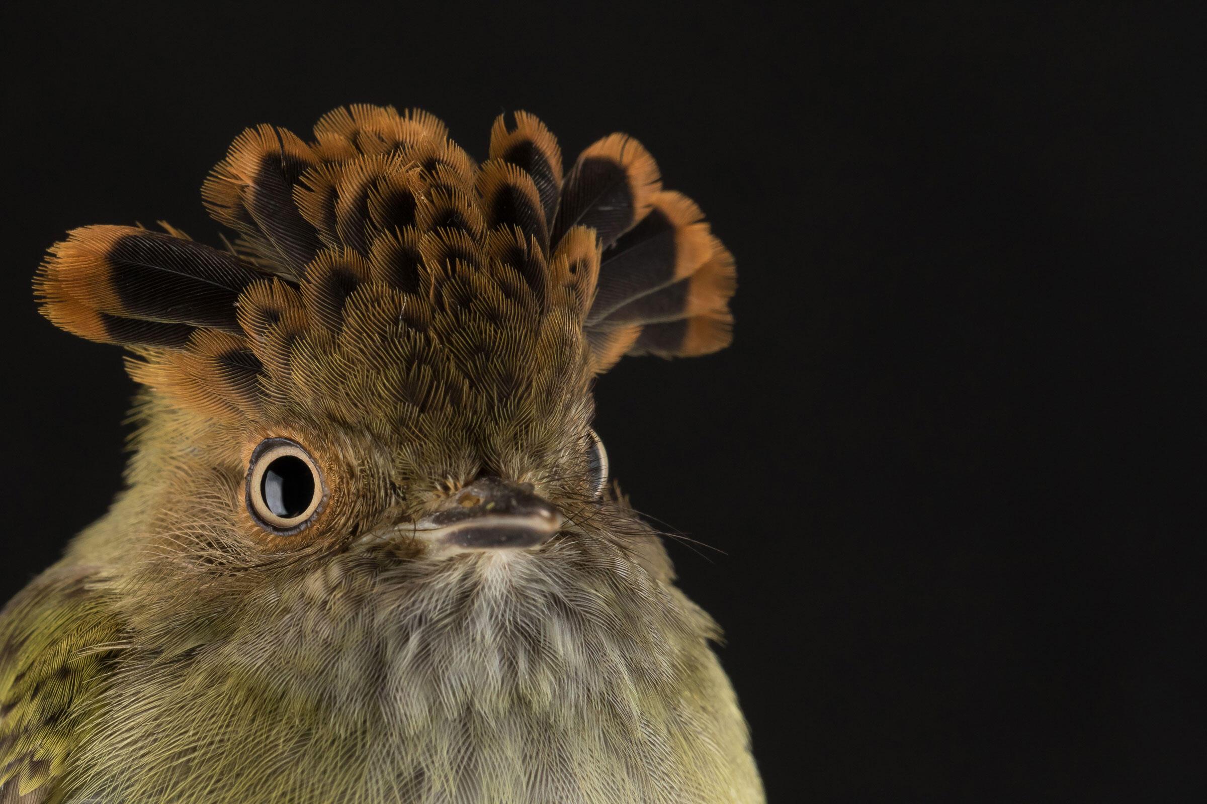 Scale-crested Pygmy Tyrant. Sean Graesser