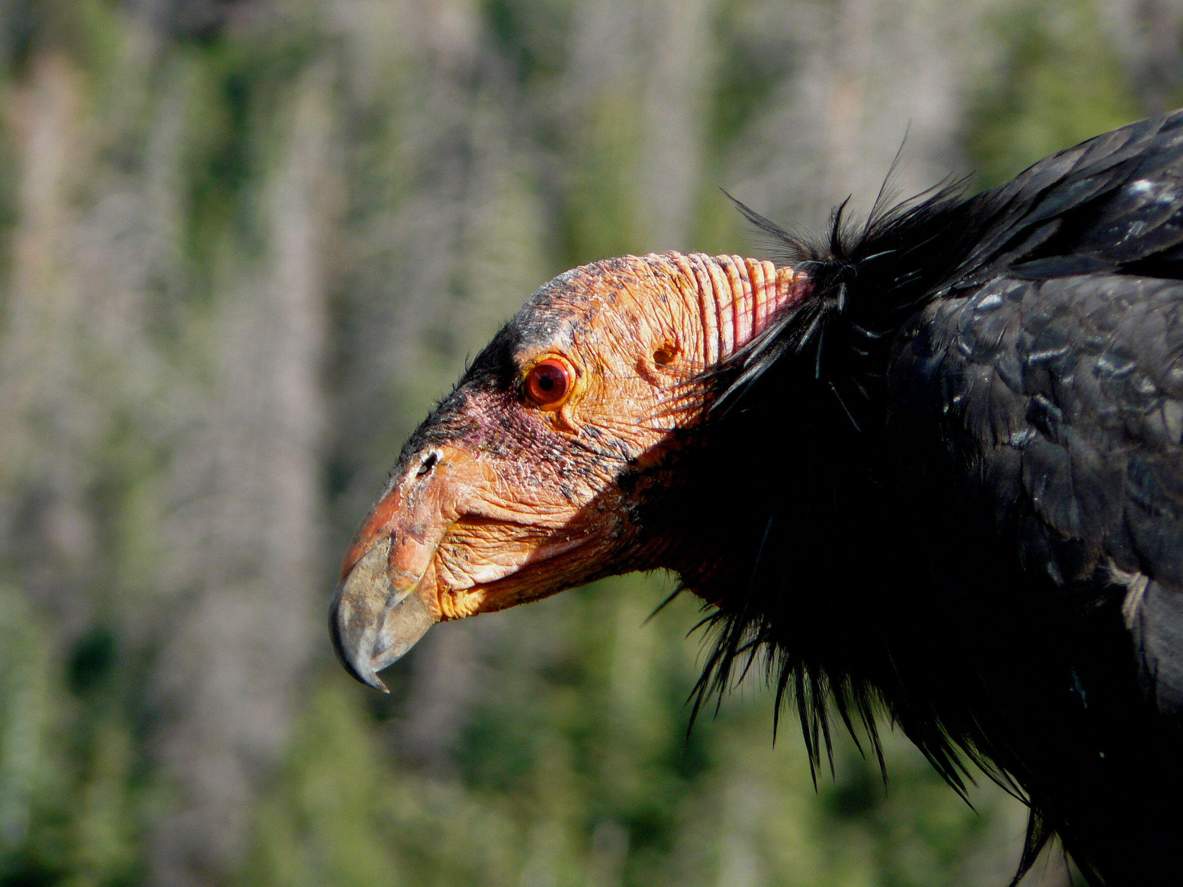 An adult California Condor in the Grand Canyon region of Arizona. The condor population is recovering across North America after reaching a population low of only 22 in the '80s. Evan R. Buechley