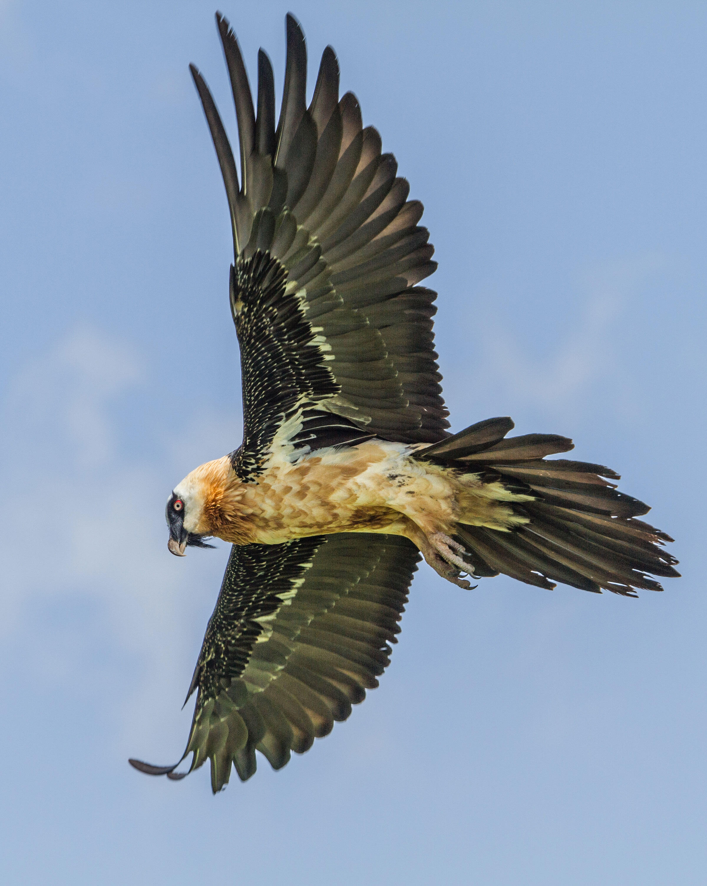 An adult Bearded Vulture—the world's only vertebrate osteophage (bone-eating specialist)—in Ethiopia. Evan R. Buechley